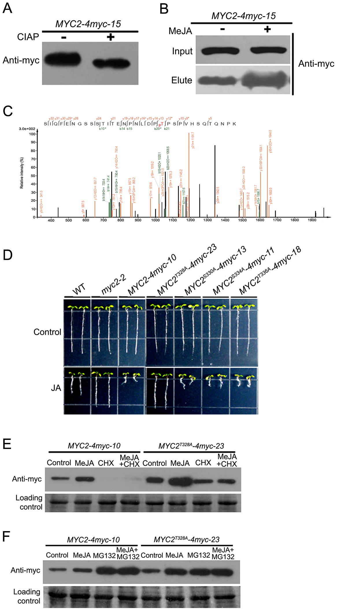 Phosphorylation of MYC2 at Thr328 Affects Its Turnover.