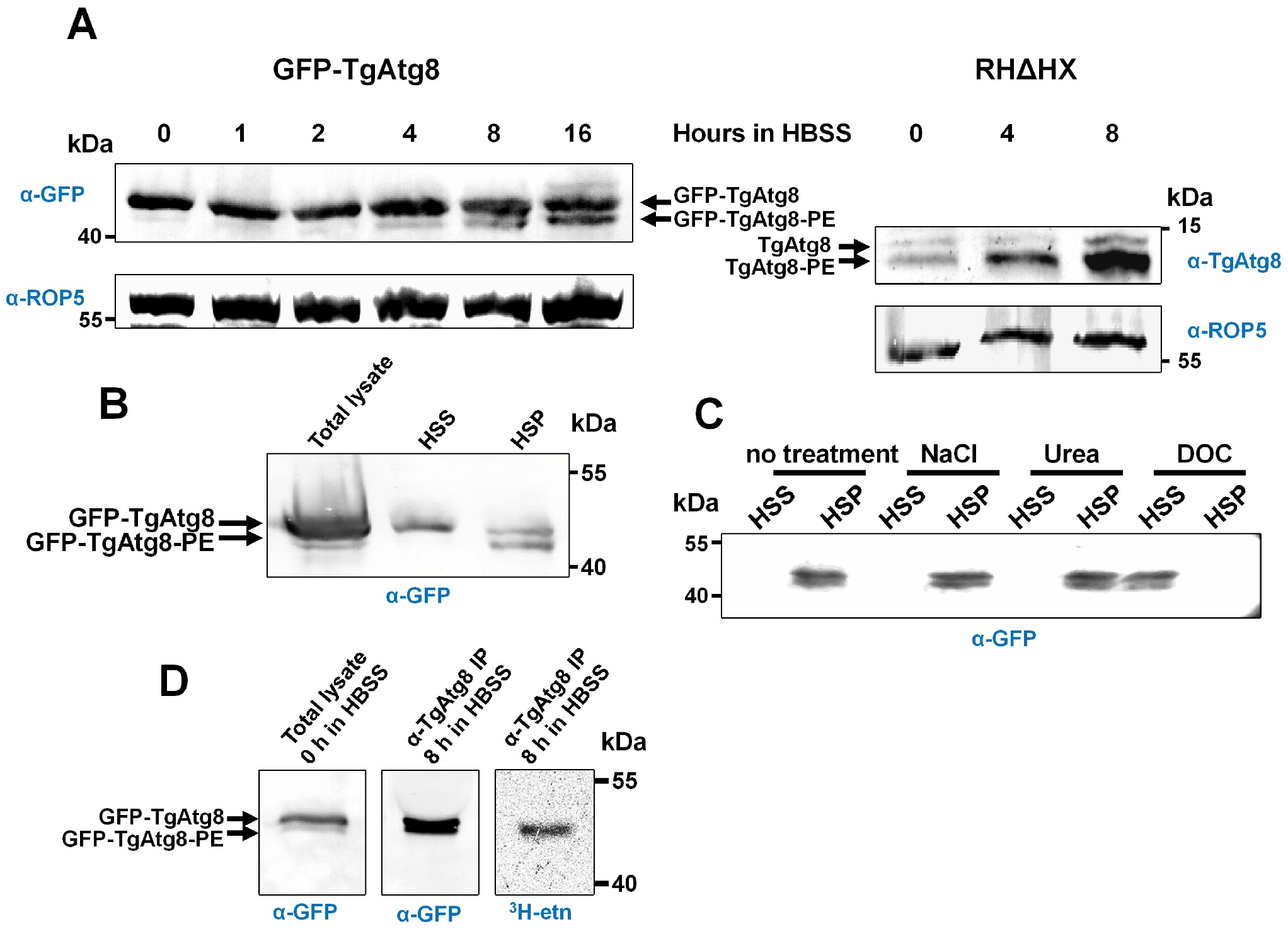 TgAtg8 exists both in soluble and membrane-associated forms that can be separated by urea SDS-PAGE.