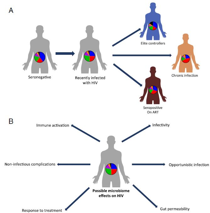 Gut microbiota alterations during HIV infection and their potential effects on the host. a. In different studies, distinct gut microbiome compositions have been identified in HIV infected individuals with or without ART, as compared to healthy controls. Importantly, HIV-associated microbiome configurations vary between these studies. While ART dramatically lowers the viral load in infected individuals, gut microbiome composition is not fully restored to a healthy composition. 'Elite controllers' differ in their microbial composition from HIV- infected individuals and are more similar to healthy individuals. b. The characteristic HIV microbiota possibly contributes to some of the common HIV manifestations, including modification of the level if infectivity, occurrence of opportunistic infections, increased gut permeability and resultant bacteria and bacterial product translocation, increased immune activation and T cell polarization, metabolic complications and variability in the response to HIV treatment
