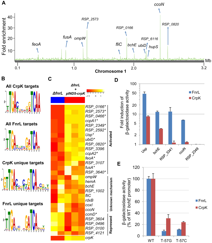 Analysis of the CrpK regulon in <i>R. sphaeroides</i>.