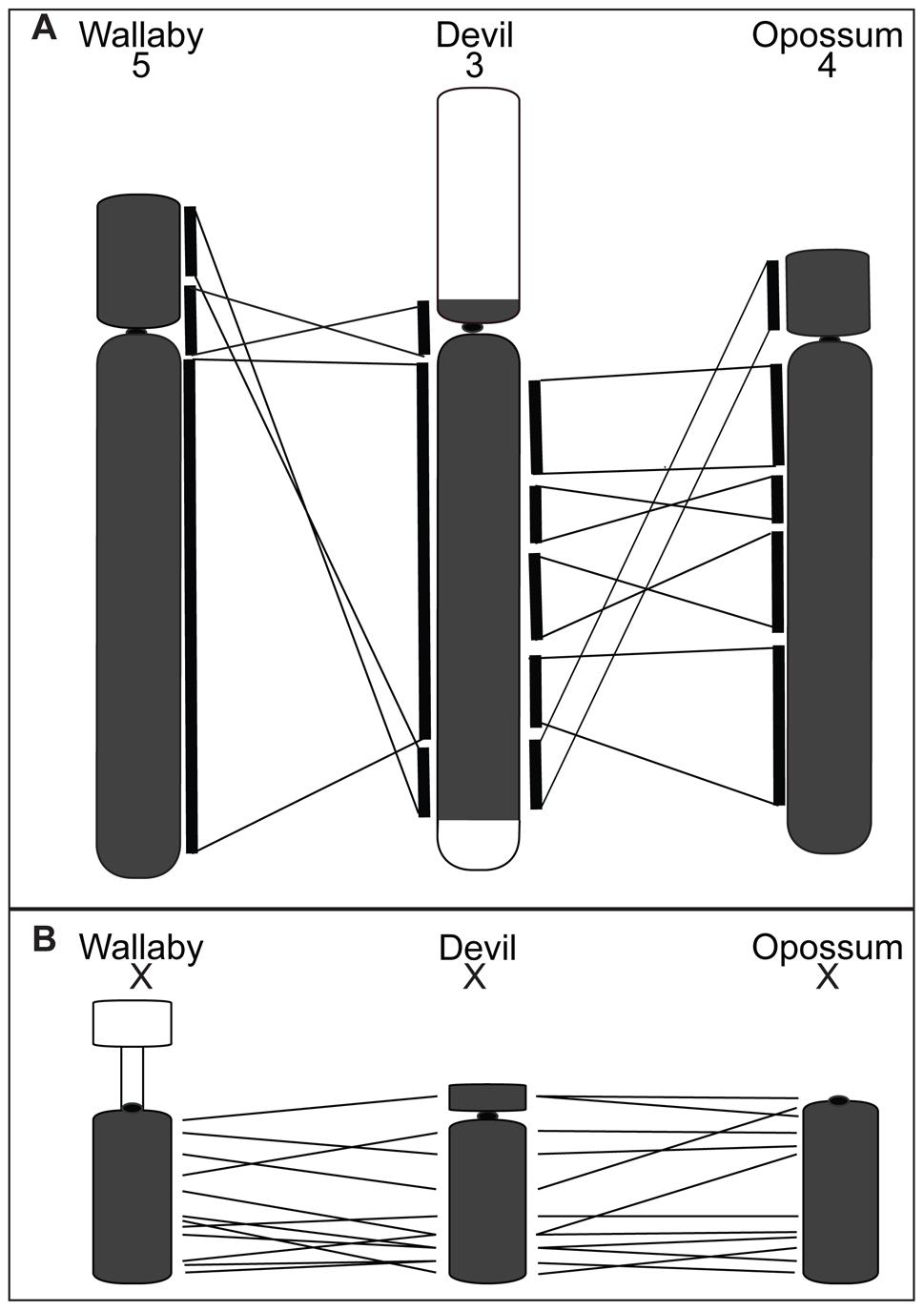 Comparison of gene arrangement among devil, wallaby, and opossum chromosomes.