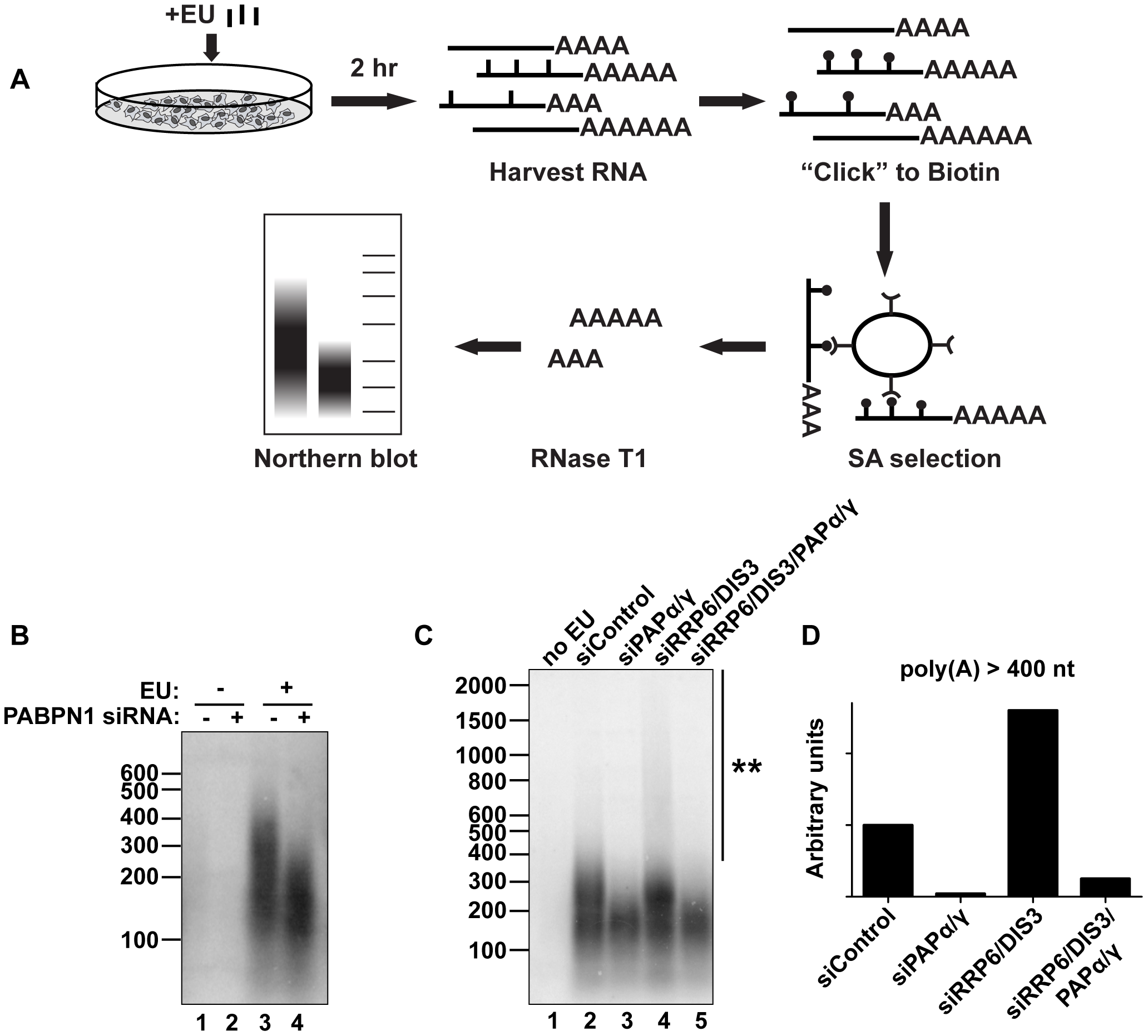 Endogenous transcripts are subject to PABPN1-mediated hyperadenylation.
