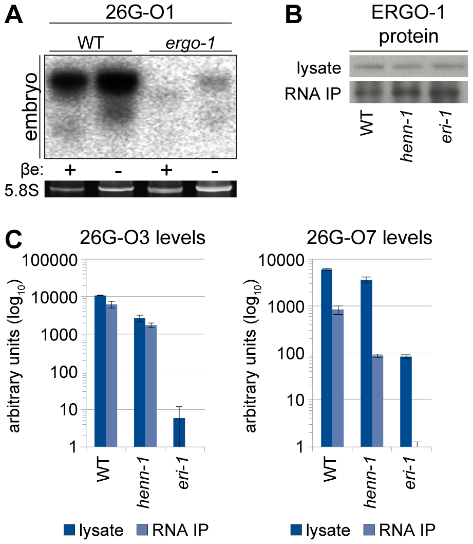 ERGO-1 Is Required for Methylation of 26G RNAs.