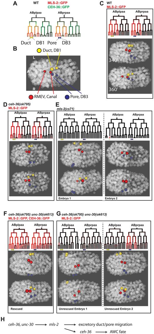<i>ceh-36</i> and <i>unc-30</i> regulate <i>mls-2</i> and excretory system coalescence.