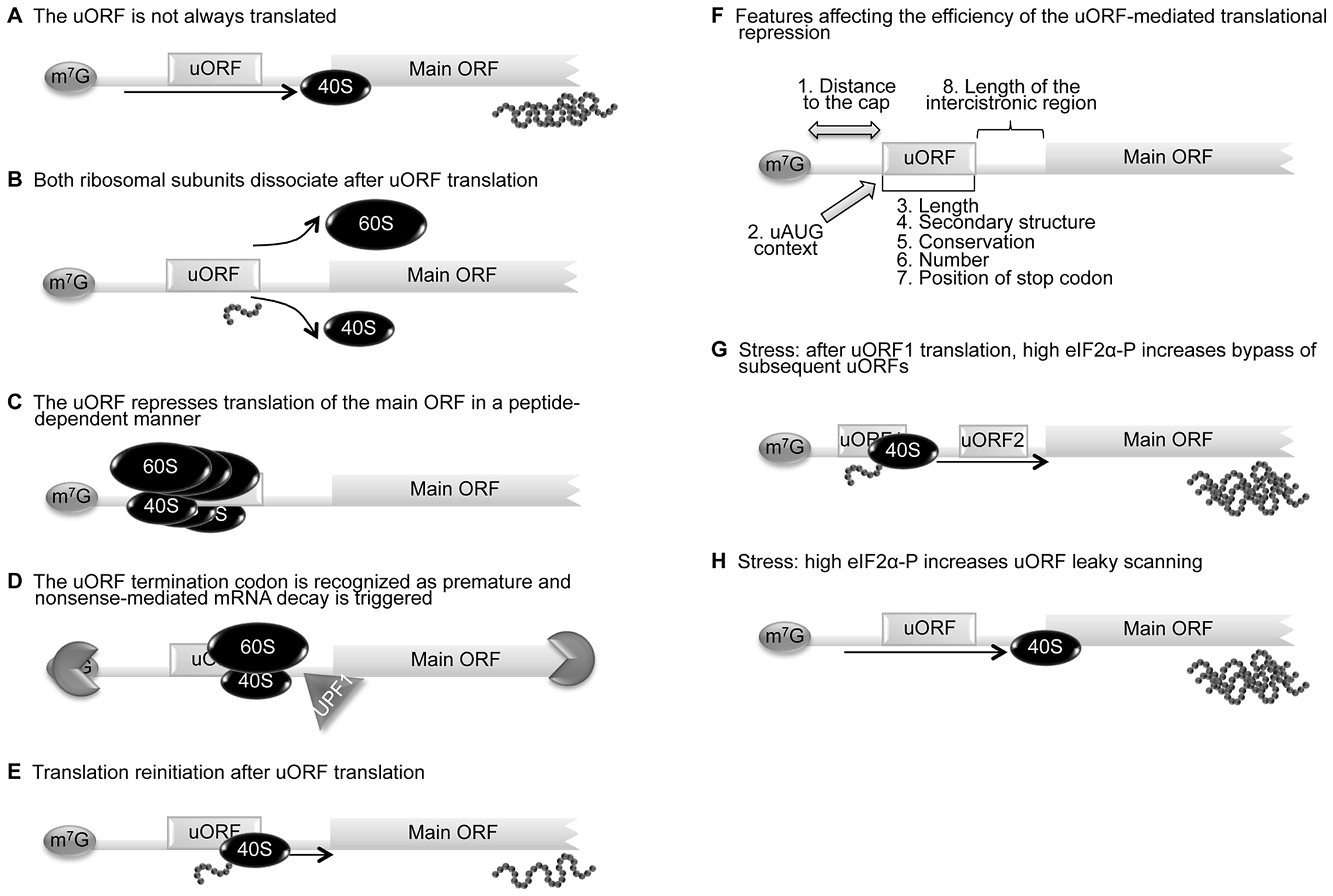 uORF-mediated translational control can occur through different mechanisms.