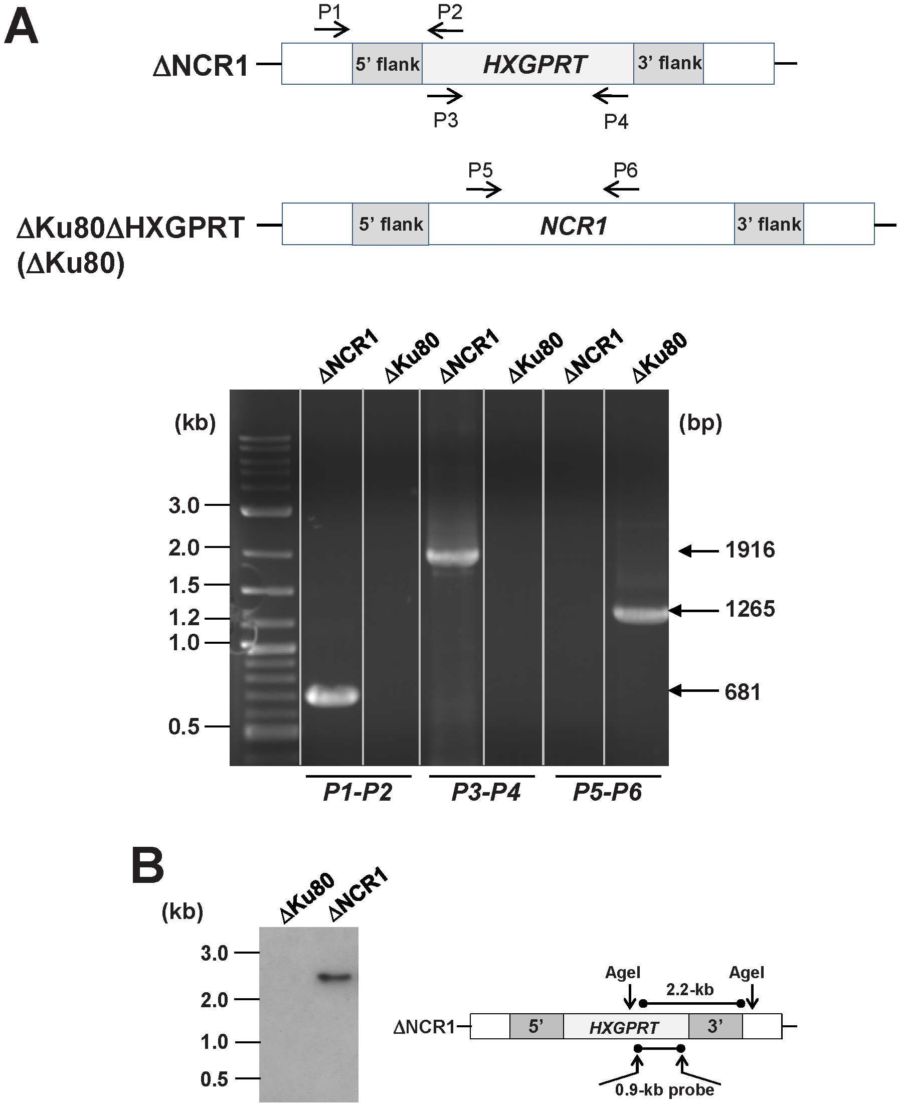Validation of the targeted deletion of <i>NCR1</i>from the <i>Toxoplasma</i> genome.