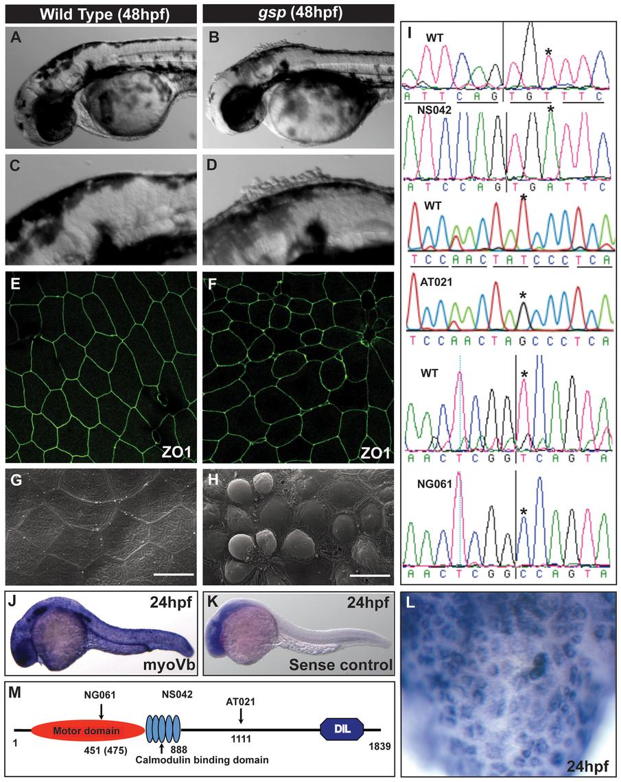 The <i>gsp</i> locus encodes for molecular motor Myosin Vb.