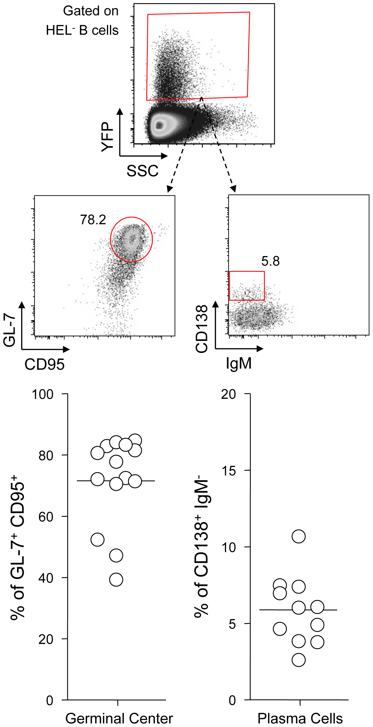 YFP<sup>+</sup> HEL<sup>−</sup> B cells differentiate into GC and plasma cells.