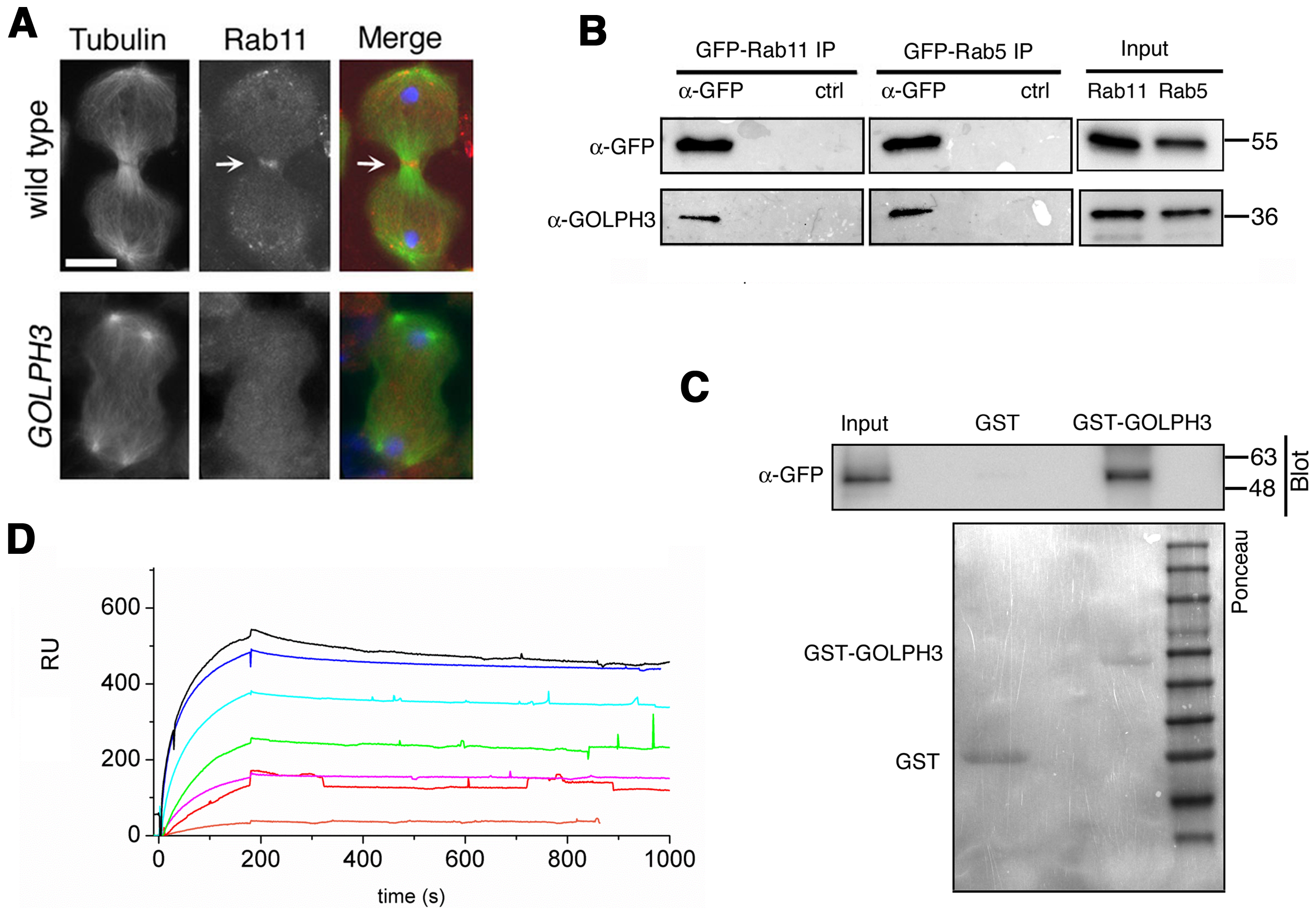 Rab11 forms a complex with GOLPH3 and depends on GOLPH3 for localization at the cleavage site.