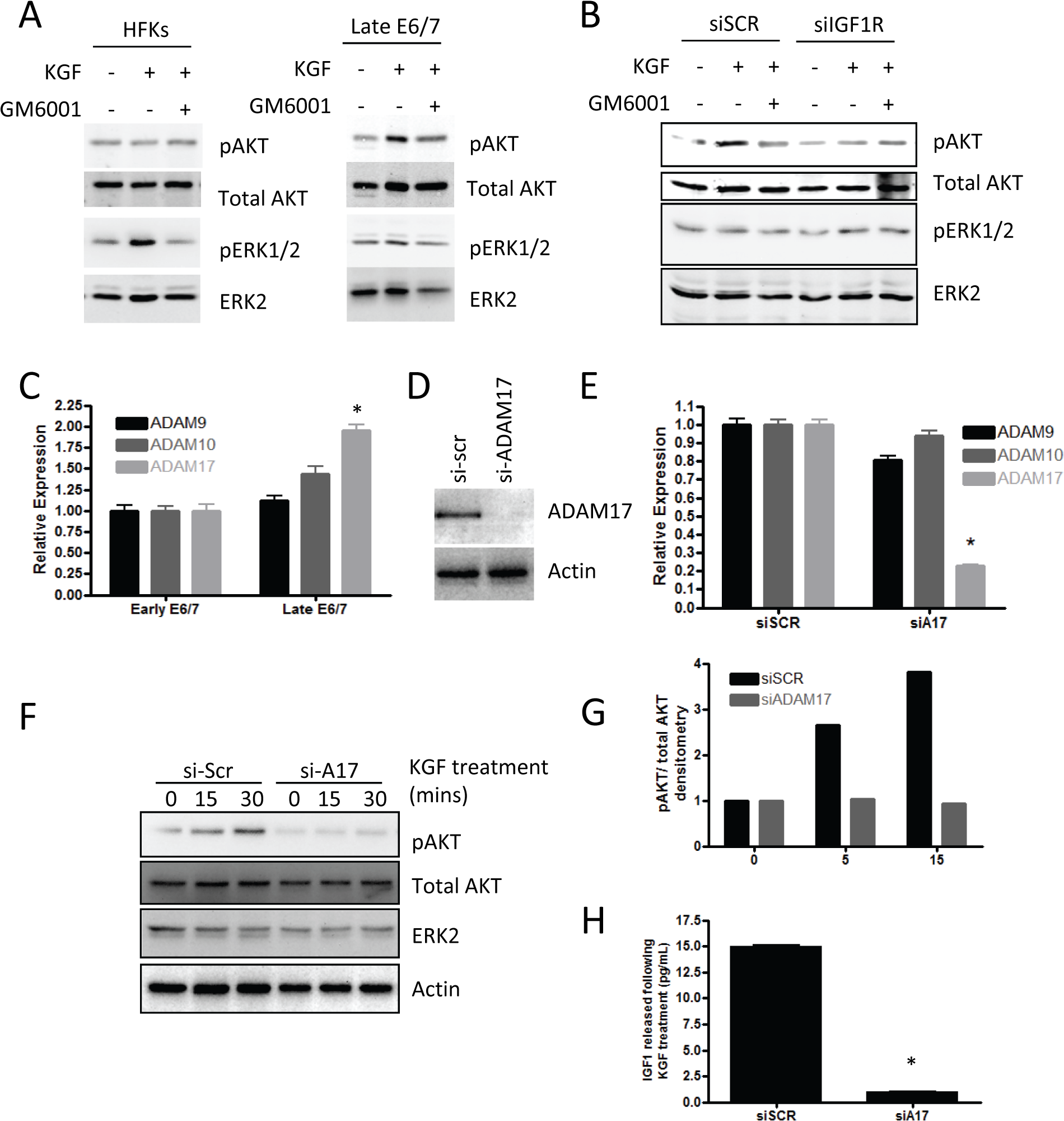 Signalling mediated by KGF requires IGF1R.