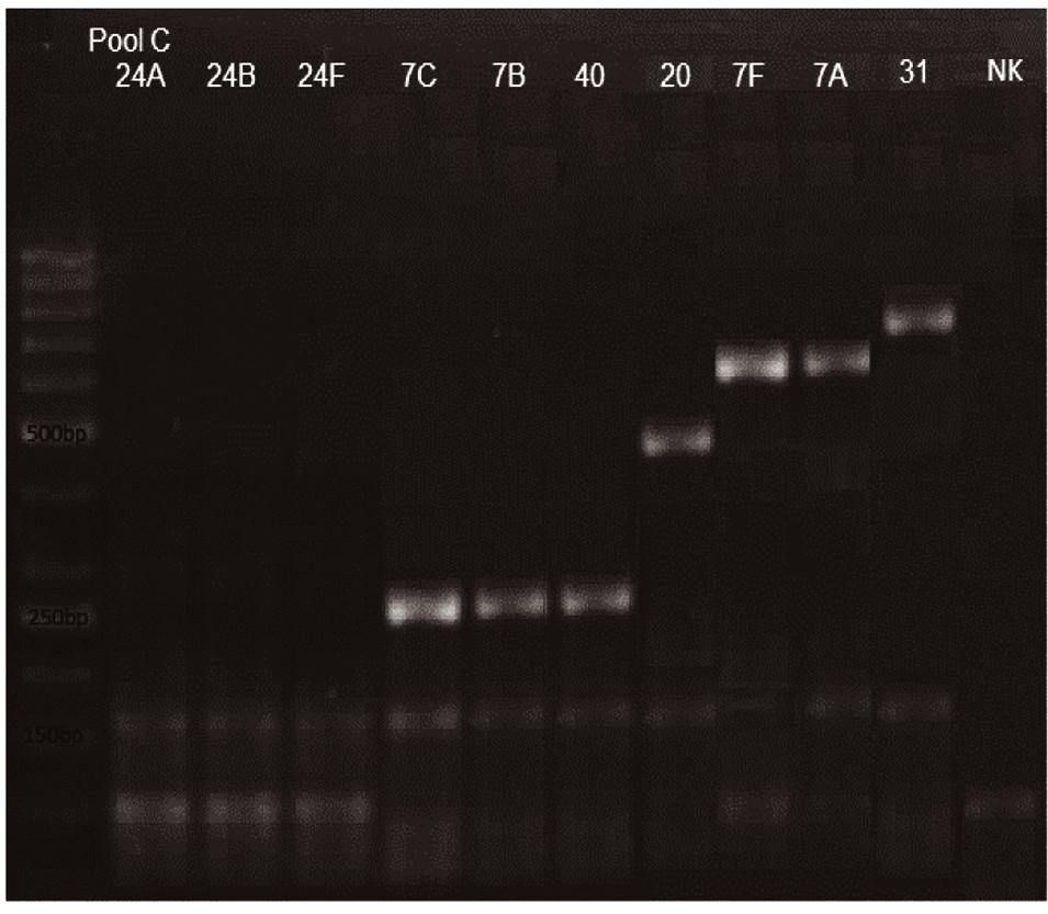 mPCR pool C Dráha 1: 50bp DNA Ladder Dráha 2: <i>S. pneumoniae</i> sérotyp 24A (99bp) Dráha 3: <i>S. pneumoniae</i>  sérotyp 24B (99bp) Dráha 4: <i>S. pneumoniae</i>  sérotyp 24F (99bp) Dráha 5: <i>S. pneumoniae</i>  sérotyp 7C (260bp) Dráha 6: <i>S. pneumoniae</i>  sérotyp 7B (260bp) Dráha 7: <i>S. pneumoniae</i>sérotyp 40 (260bp) Dráha 8: <i>S. pneumoniae</i> sérotyp 20 (514bp) Dráha 9: <i>S. pneumoniae</i> sérotyp 7A (599bp) Dráha 10: <i>S. pneumoniae</i> sérotyp 7F (599bp) Dráha 11: <i>S. pneumoniae</i> sérotyp 31 (701bp) Dráha 12: negativní kontrola Dráha 2–11: pozitivní produkt cpsA (160bp)<br> Fig. 3. mPCR pool C Lane 1: 50bp DNA Ladder Lane 2: <i>S. pneumoniae</i> serotype 24A (99bp) Lane 3: <i>S. pneumoniae</i> serotype 24B (99bp) Lane 4: S<i>S. pneumoniae</i> serotype 24F (99bp) Lane 5: <i>S. pneumoniae</i> serotype 7C (260bp) Lane 6: <i>S. pneumoniae</i> serotype 7B (260bp) Lane 7: <i>S. pneumoniae</i> serotype 40 (260bp) Lane 8: <i>S. pneumoniae</i> serotype 20 (514bp) Lane 9: <i>S. pneumoniae</i> serotype 7A (599bp) Lane 10: <i>S. pneumoniae</i> serotype 7F (599bp) Lane 11: <i>S. pneumoniae</i> serotype 31 (701bp) Lane 12: negative control Lanes 2–11: positive product cpsA (160bp)