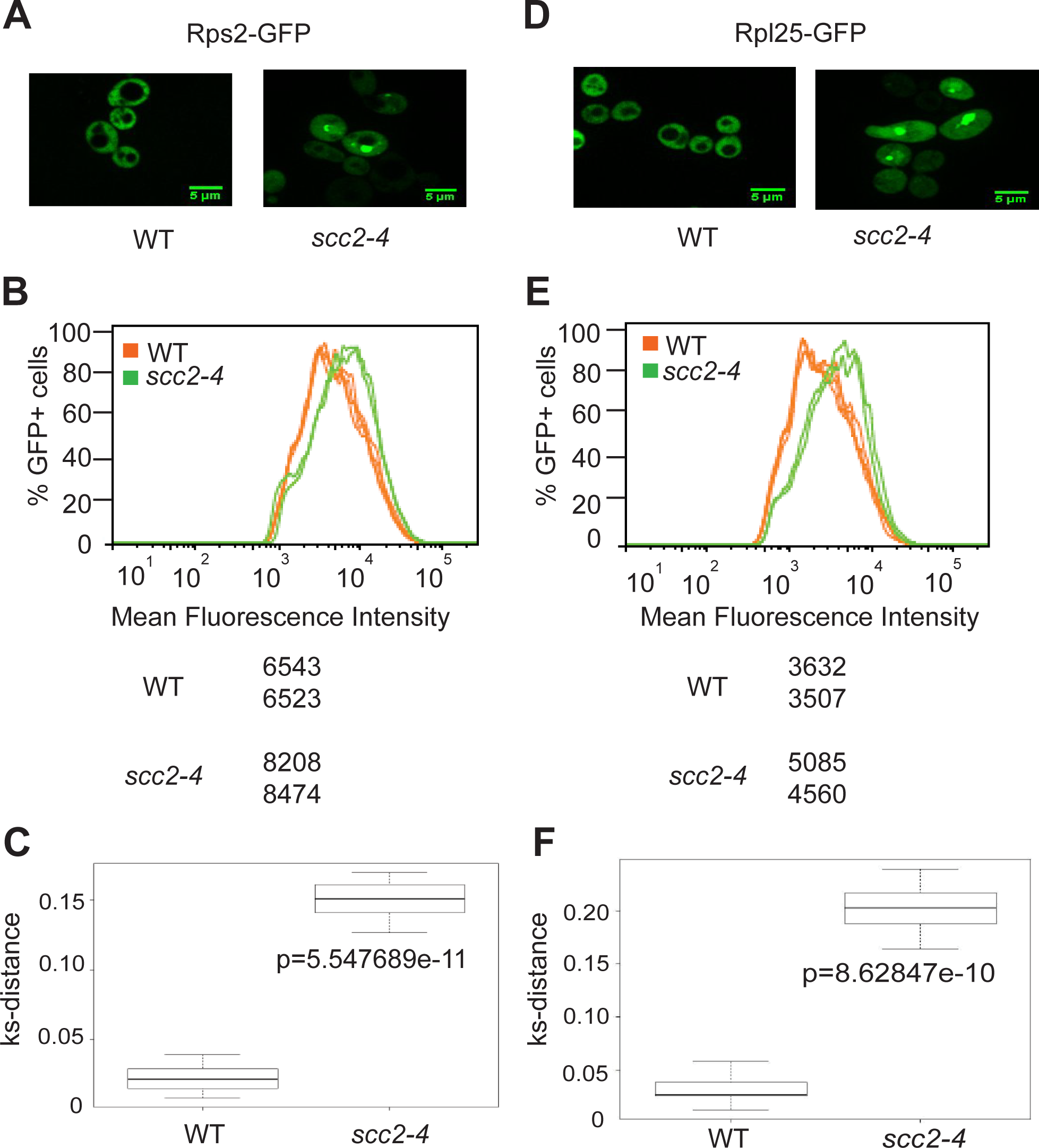 Ribosome protein distribution is compromised in the <i>scc2-4</i> mutant.