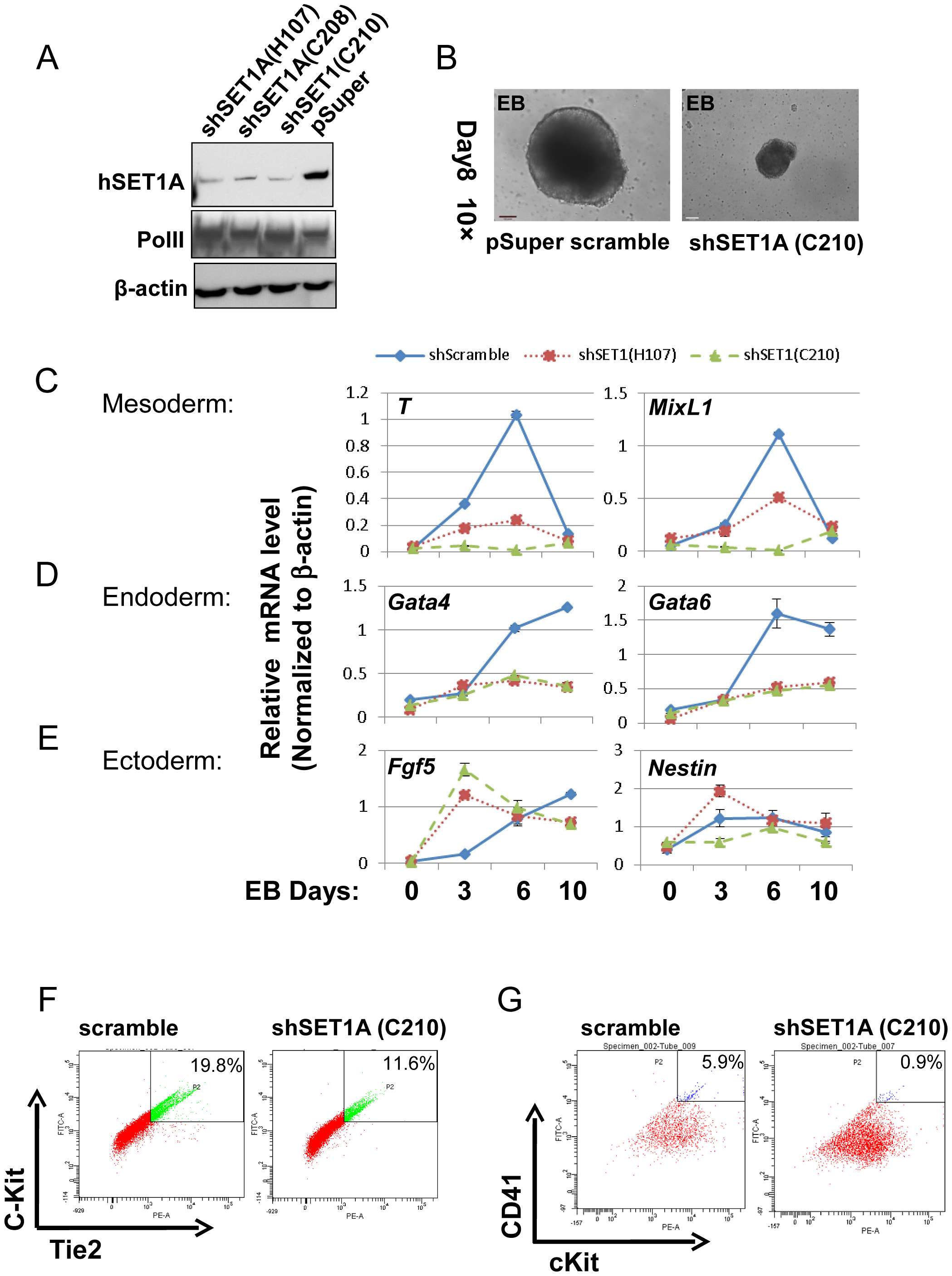 Effect of hSET1A depletion on ESC mesoderm differentiation and hematopoiesis.