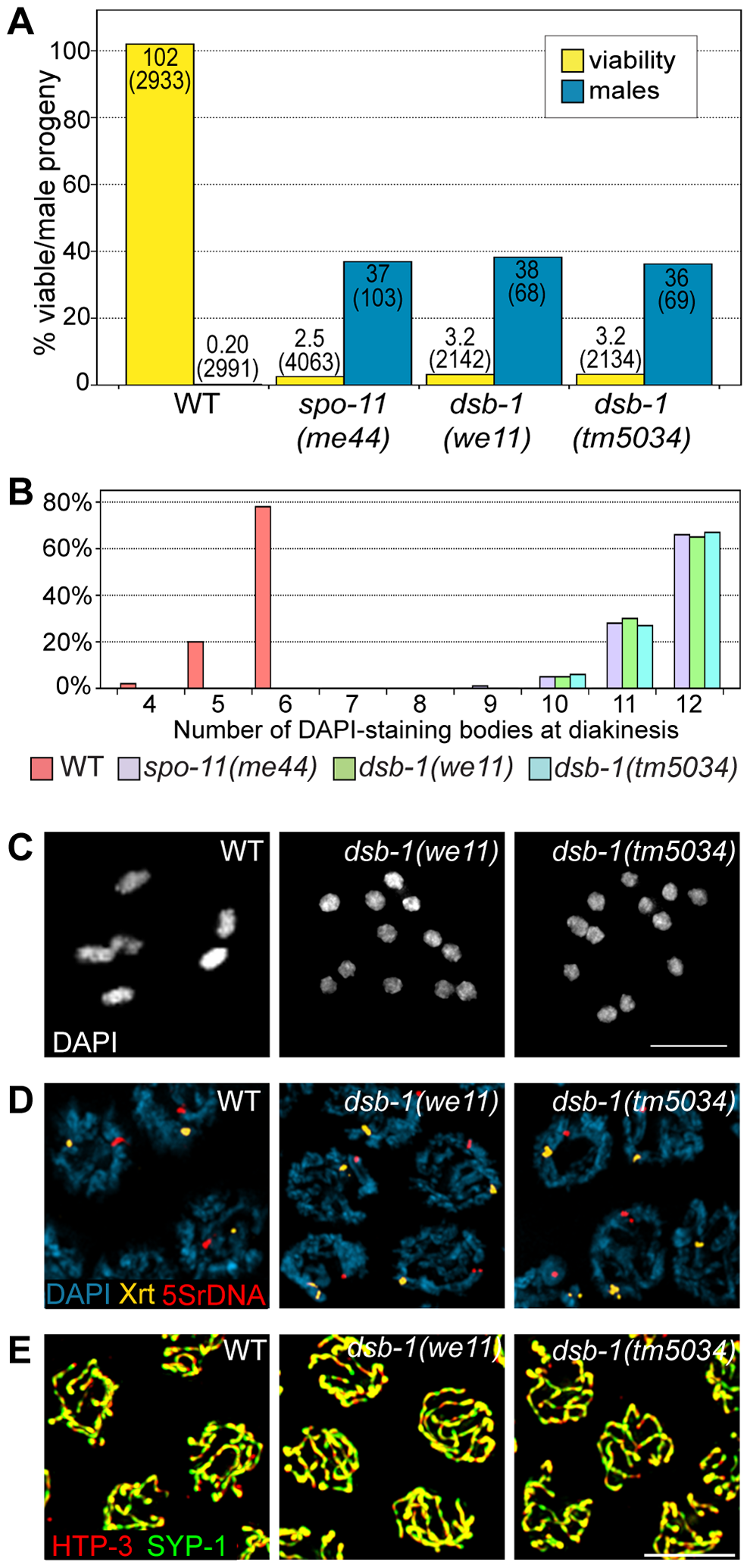 <i>dsb-1</i> mutants lack meiotic crossovers but are proficient for homologous chromosome pairing and synapsis.