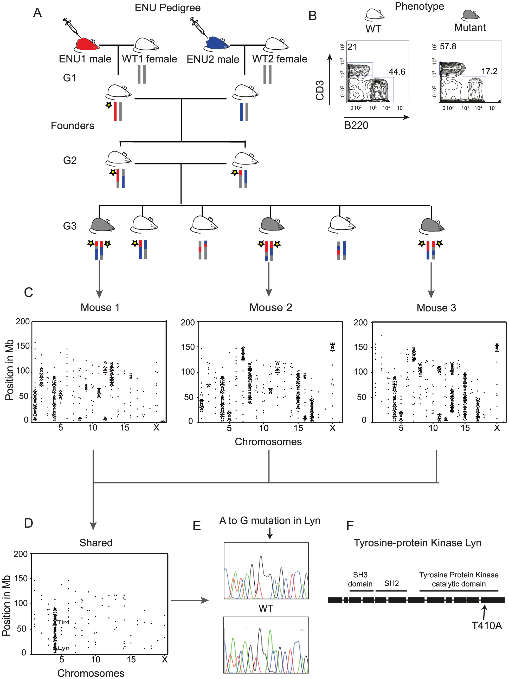 Whole-Genome Sequencing Identifies the IBD Homozygous Region and Causative ENU Mutation.