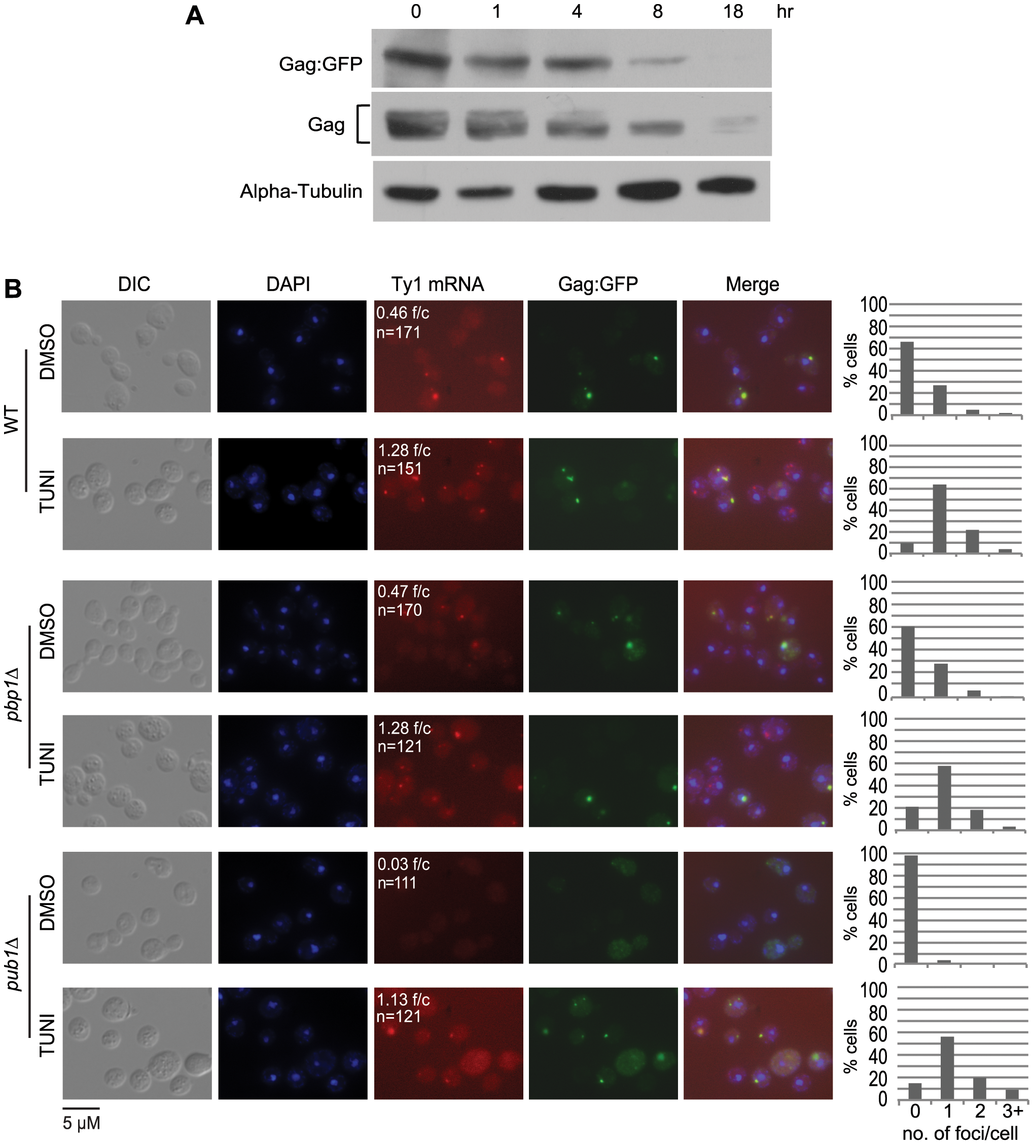 The prevalence of Ty1 retrosomes increases when ER translocation is blocked with tunicamycin.