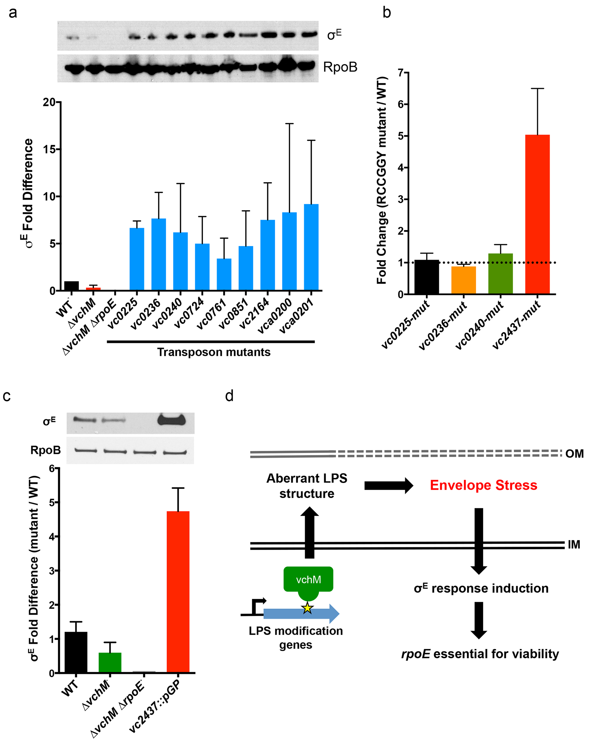 Other cell envelope-related loci and VchM control of LPS modification contribute to basal levels of σ<sup>E</sup>.