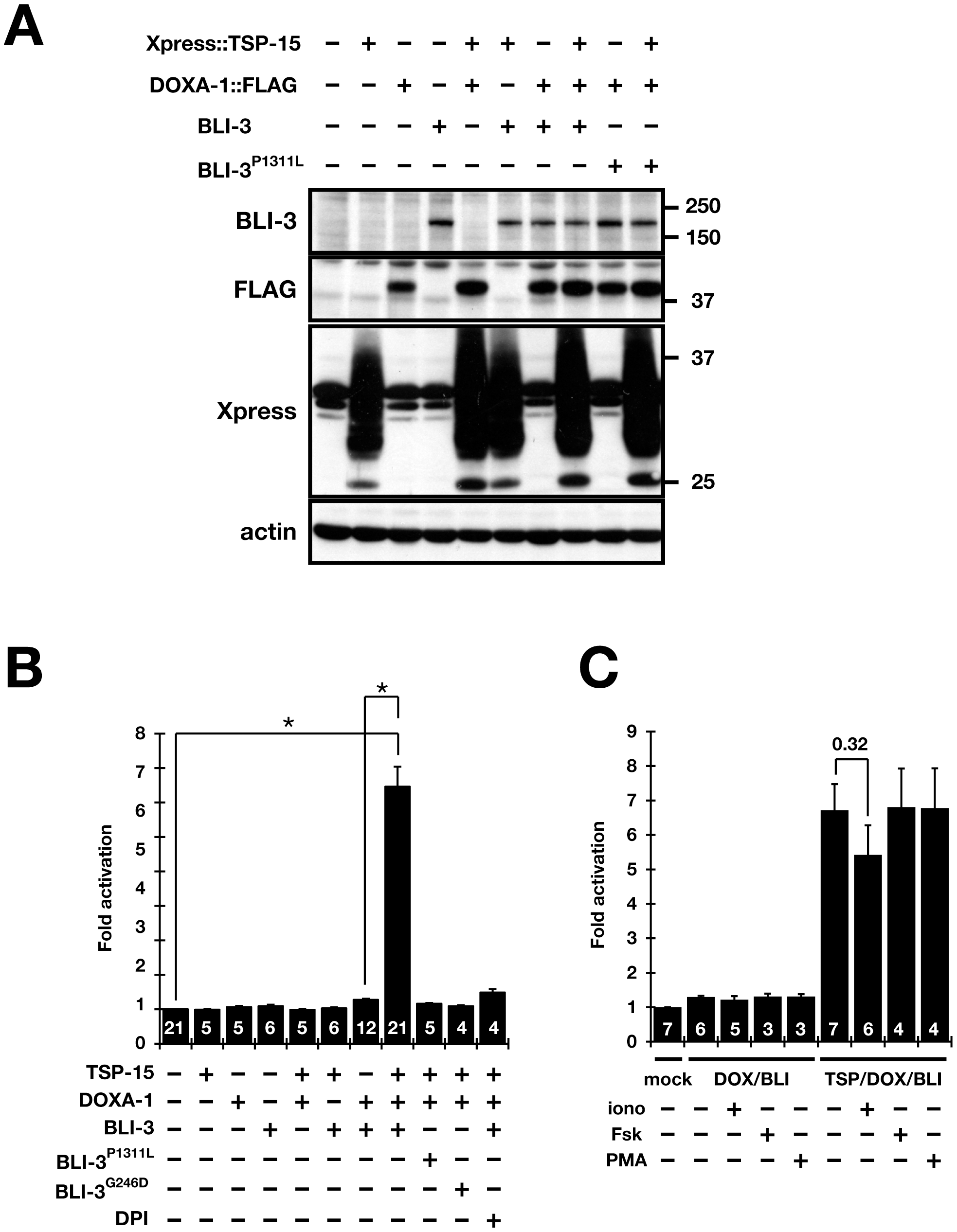 Both TSP-15 and DOXA-1 are required for H<sub>2</sub>O<sub>2</sub> production by BLI-3 in mammalian cells.