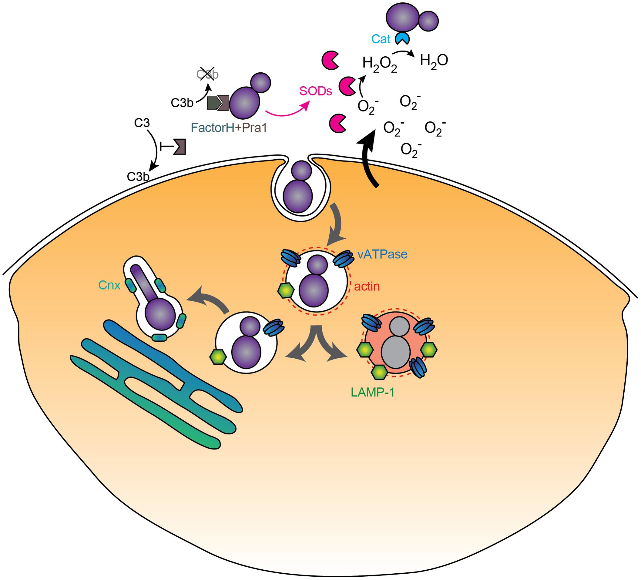 Immunomodulatory activities of <i>C. albicans</i>.