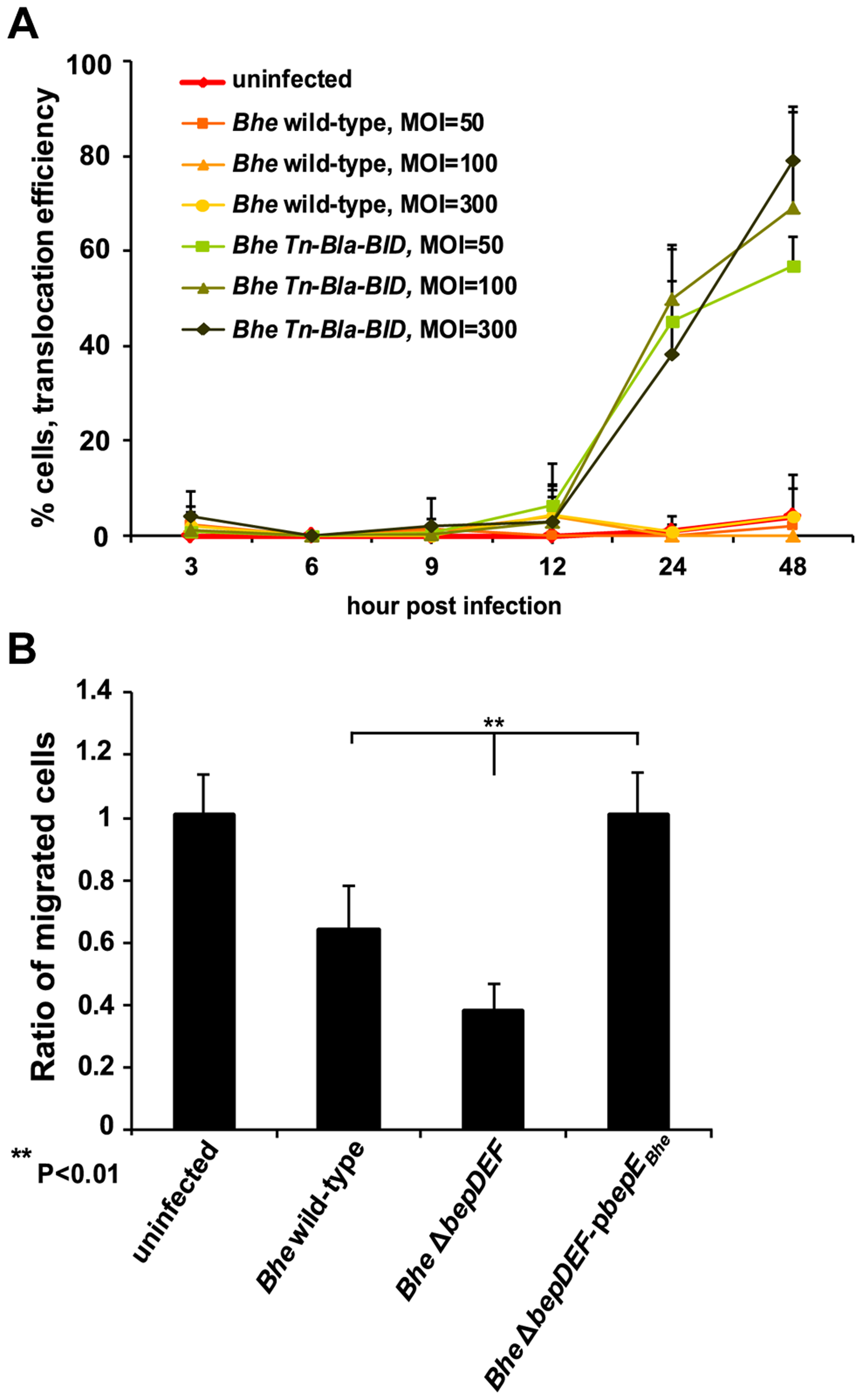 Dendritic cells are infected by <i>Bartonella</i>.