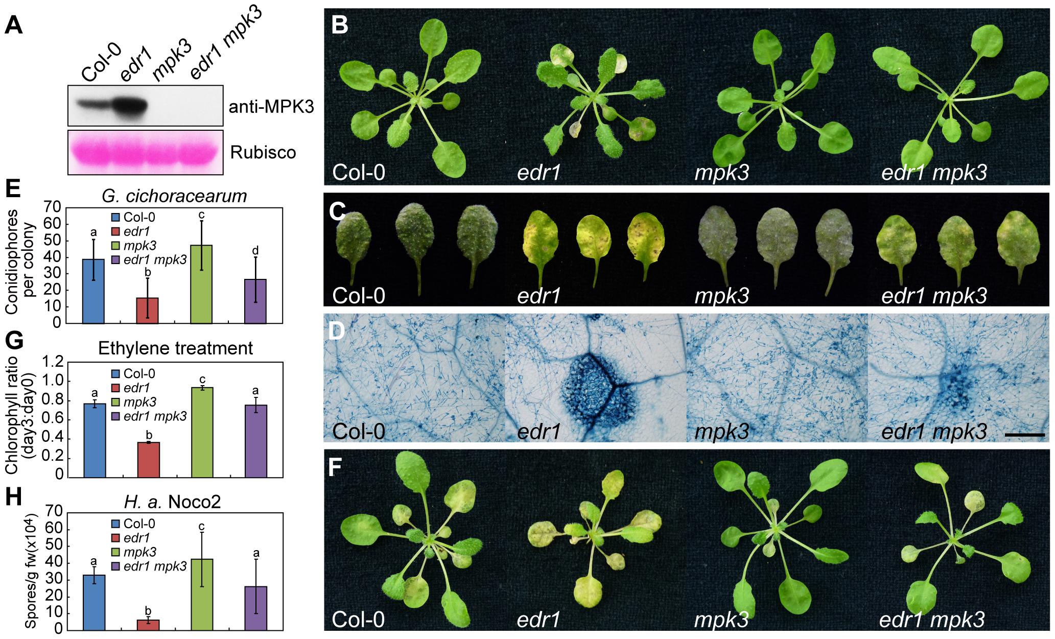The <i>mpk3-1</i> mutation suppressed the <i>edr1</i> phenotype.