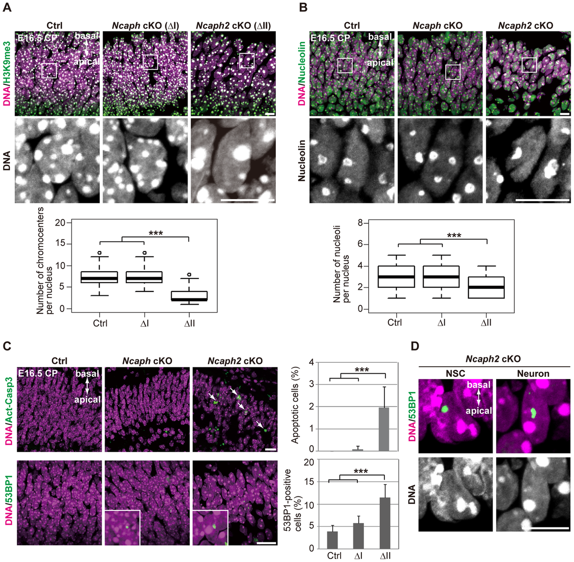 Depletion of condensin II affects nuclear architecture and cell survival in postmitotic neurons.