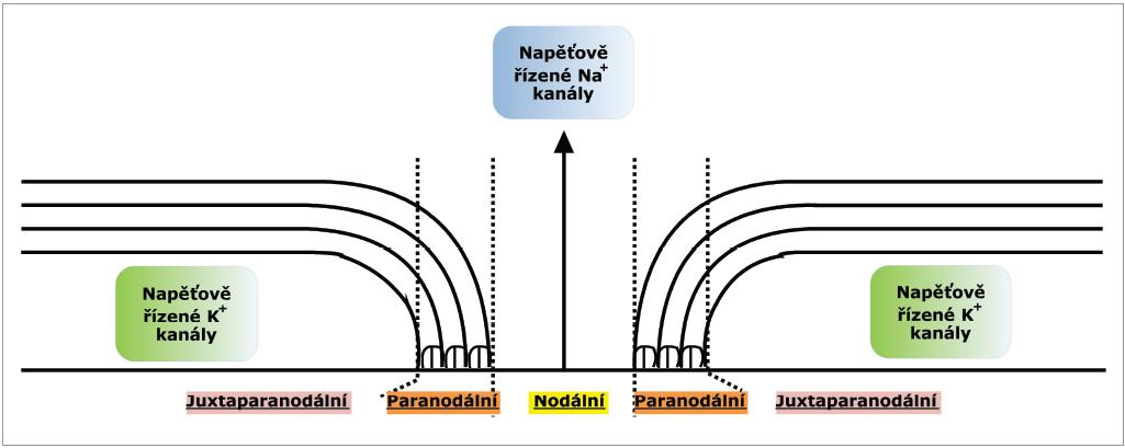 """Longitudinální průřez myelinizovaným vláknem s vyznačením jednotlivých úseků vlákna i lokalizace iontových kanálů. Nodální úsek s napěťově řízenými Na<sup>+</sup> kanály, paranodální úsek s """"ukotvením"""" myelinových pochev a juxtaparanodální úsek s K<sup>+</sup> kanály (volně dle Nodery a Kajiho) [2]."""