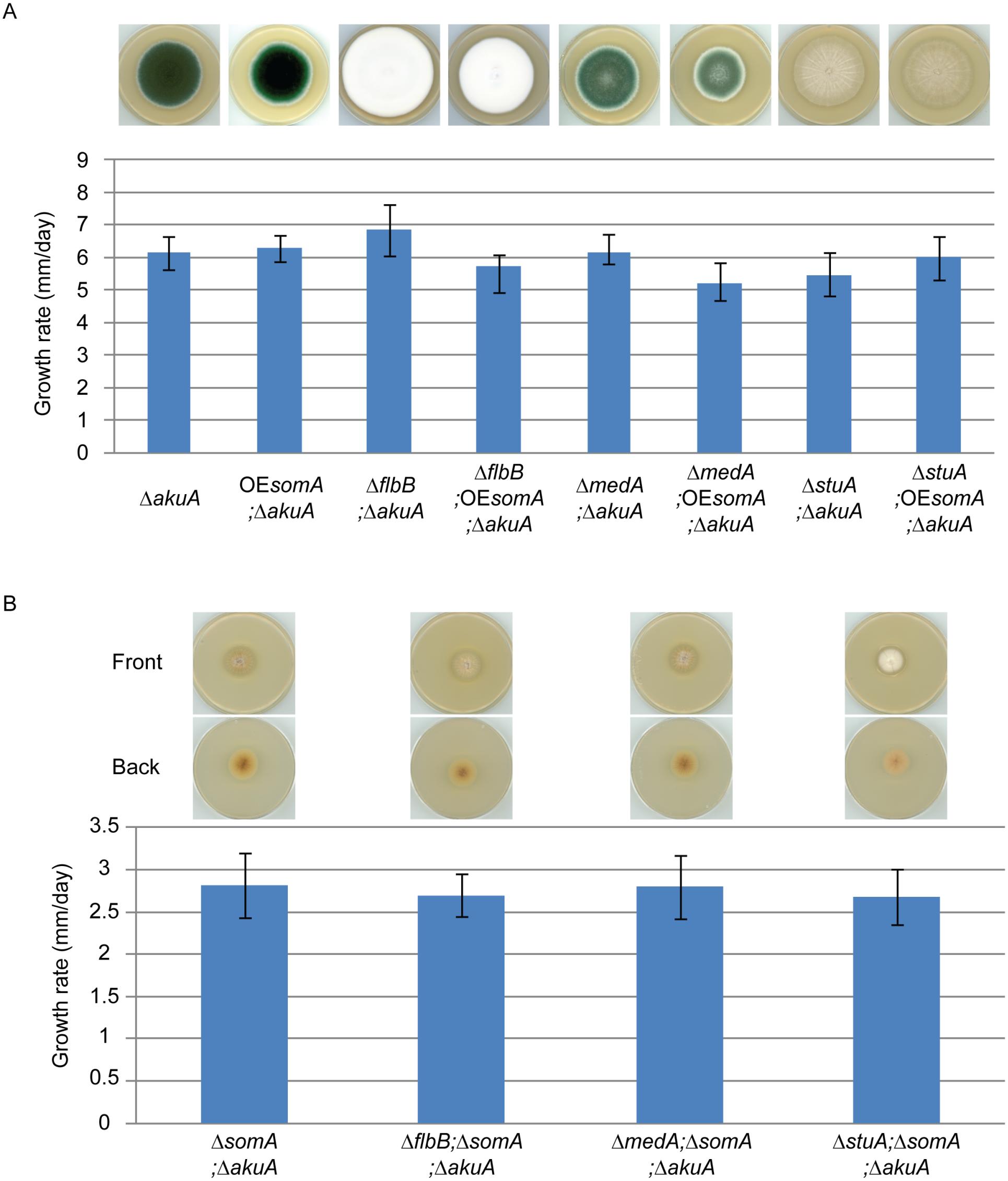 SomA acts upstream of <i>flbB</i>, <i>medA</i> and <i>stuA</i> genes.