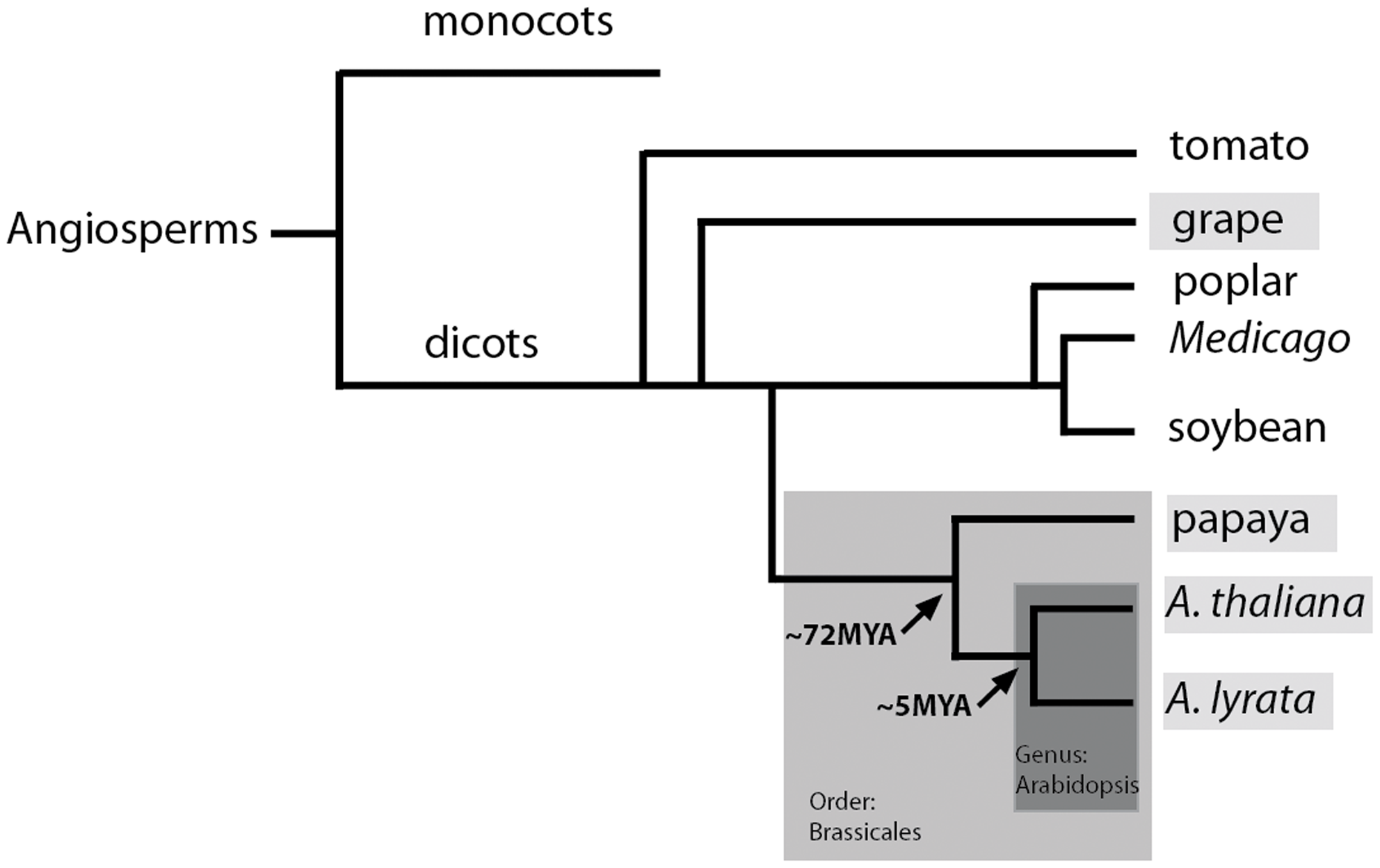 Cladogram of the key species used in this study: Arabidopsis, papaya, and grape.