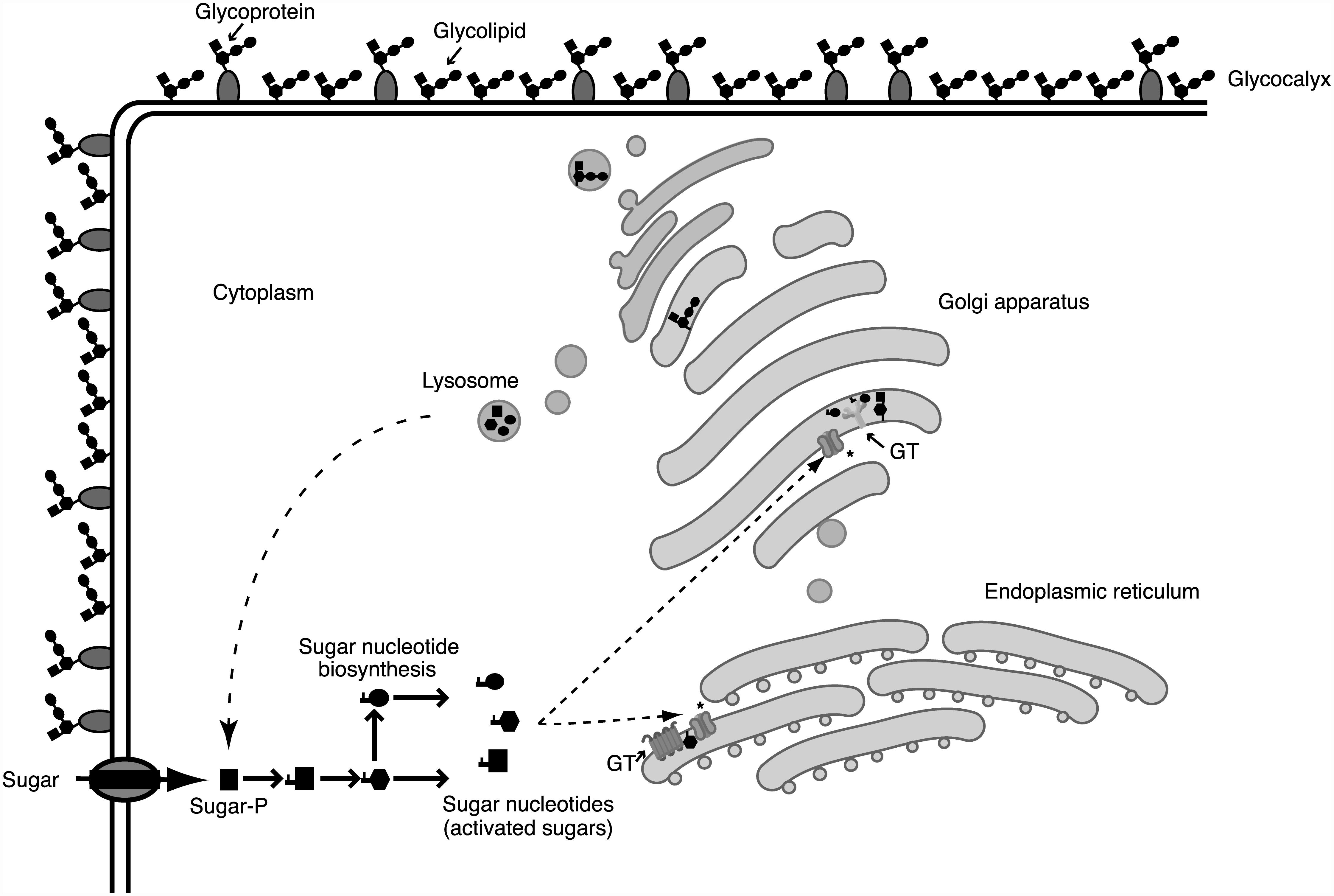 Glycosylation processes involve different cellular compartments.