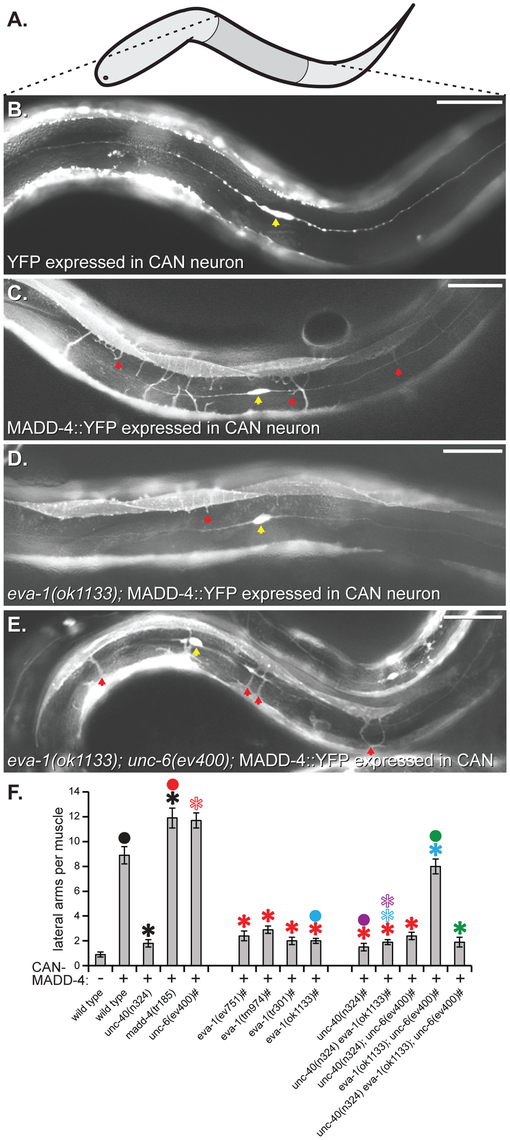 EVA-1 functions with UNC-40 to mediate muscle arm attraction to MADD-4.