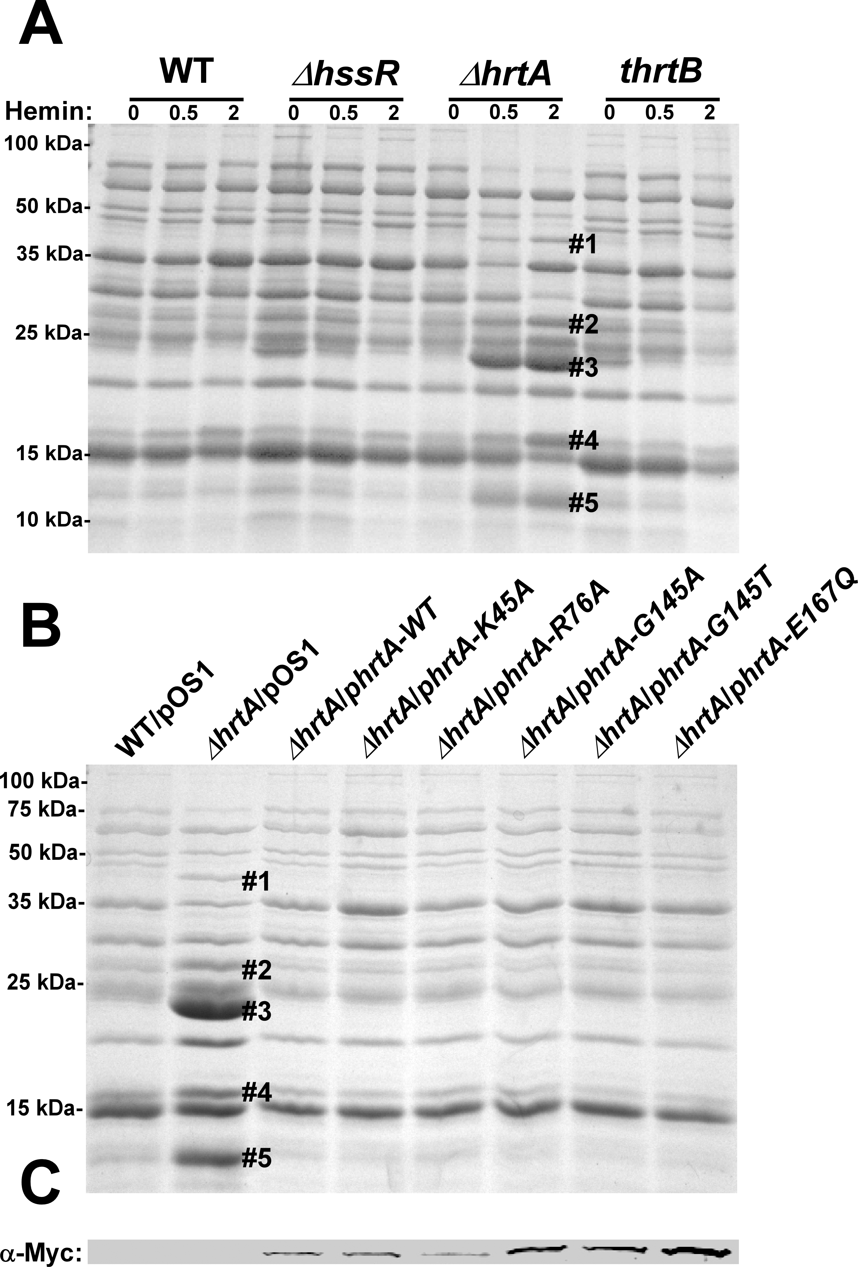Up-regulation of immunomodulatory proteins is caused by loss of expression of HrtA.