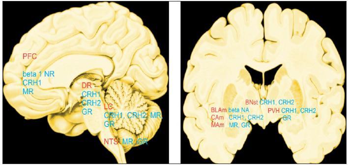 """""""Hot spots"""": místa, kde mozek ovlivňují stresové mediátory v největší míře. Červeně: PFC - prefrontální kůra, DR - dorzální raphé, LC - locus coeruleus, NTS - nc.tractus solitarius, BLAM CAM, MAM - bazolaterální, centrální, mediální jádro amygdaly, BNst - bed nucleus stria terminalis, PVH - paraventrikulární jádro hypotalamu Modře: beta 1 NR - beta 1 noradrenergní, CRH1 - hormon (faktor) uvolňující kortikotropin 1, CRH2 - hormon (faktor) uvolňující kortikotropin 2, MR - receptory mineralokortikoidů,GR - receptory glukokortikoidů"""
