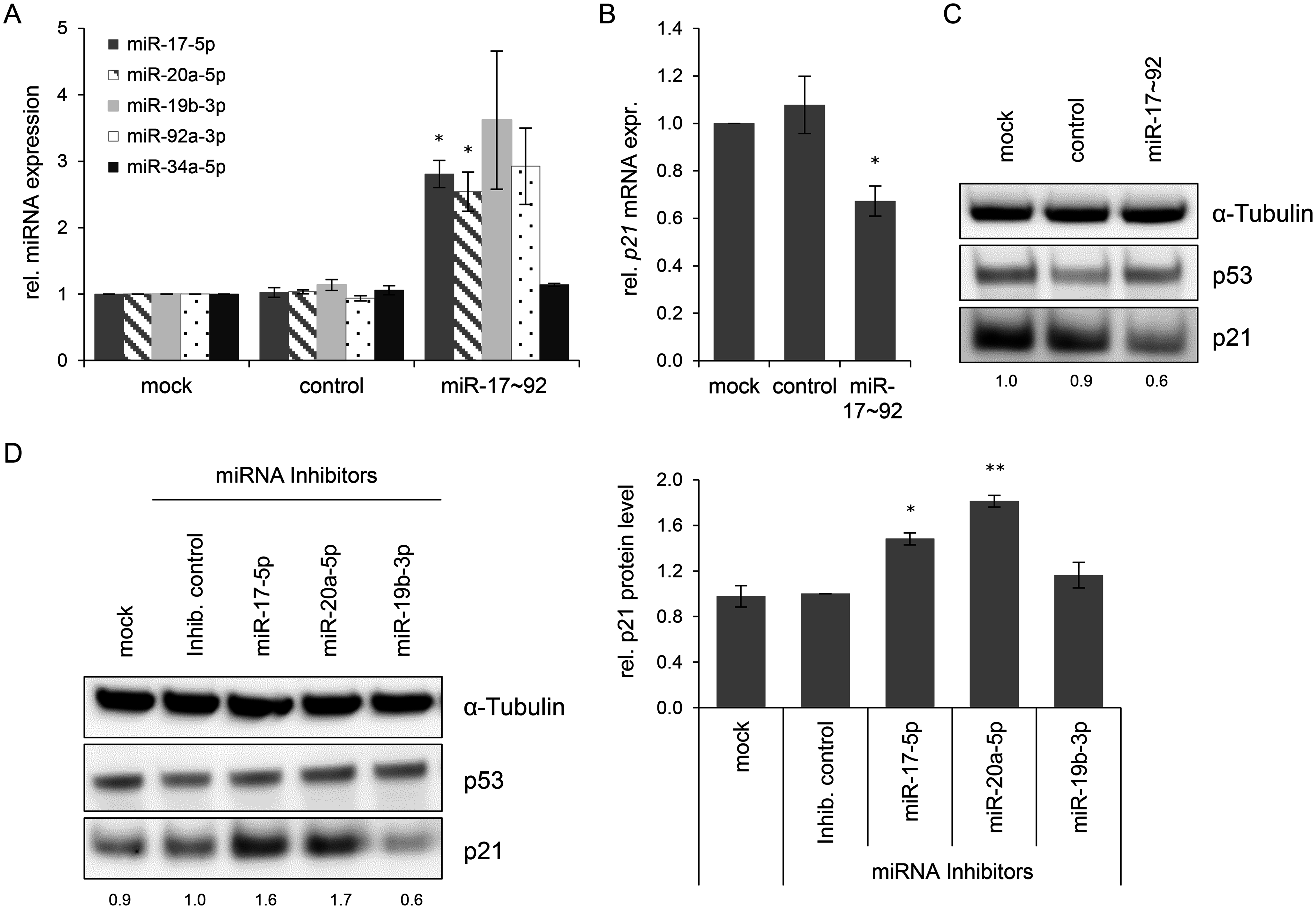 Effects of miRNAs of the miR-17~92 cluster on <i>p21</i> expression in HeLa cells.