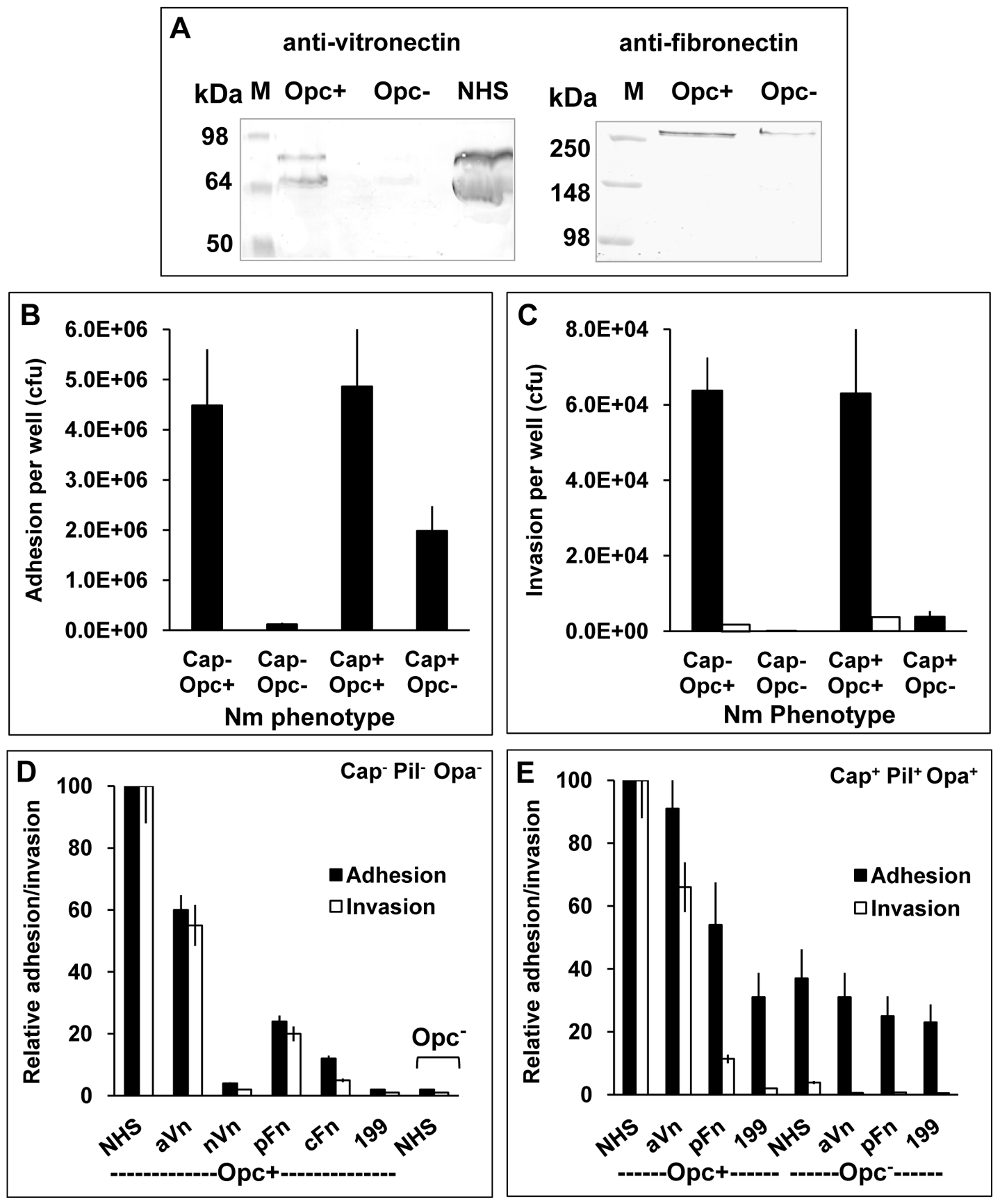 Invasion of HBMECs by capsulate and acapsulate meningococci is dependent on Opc-expression and serum components.
