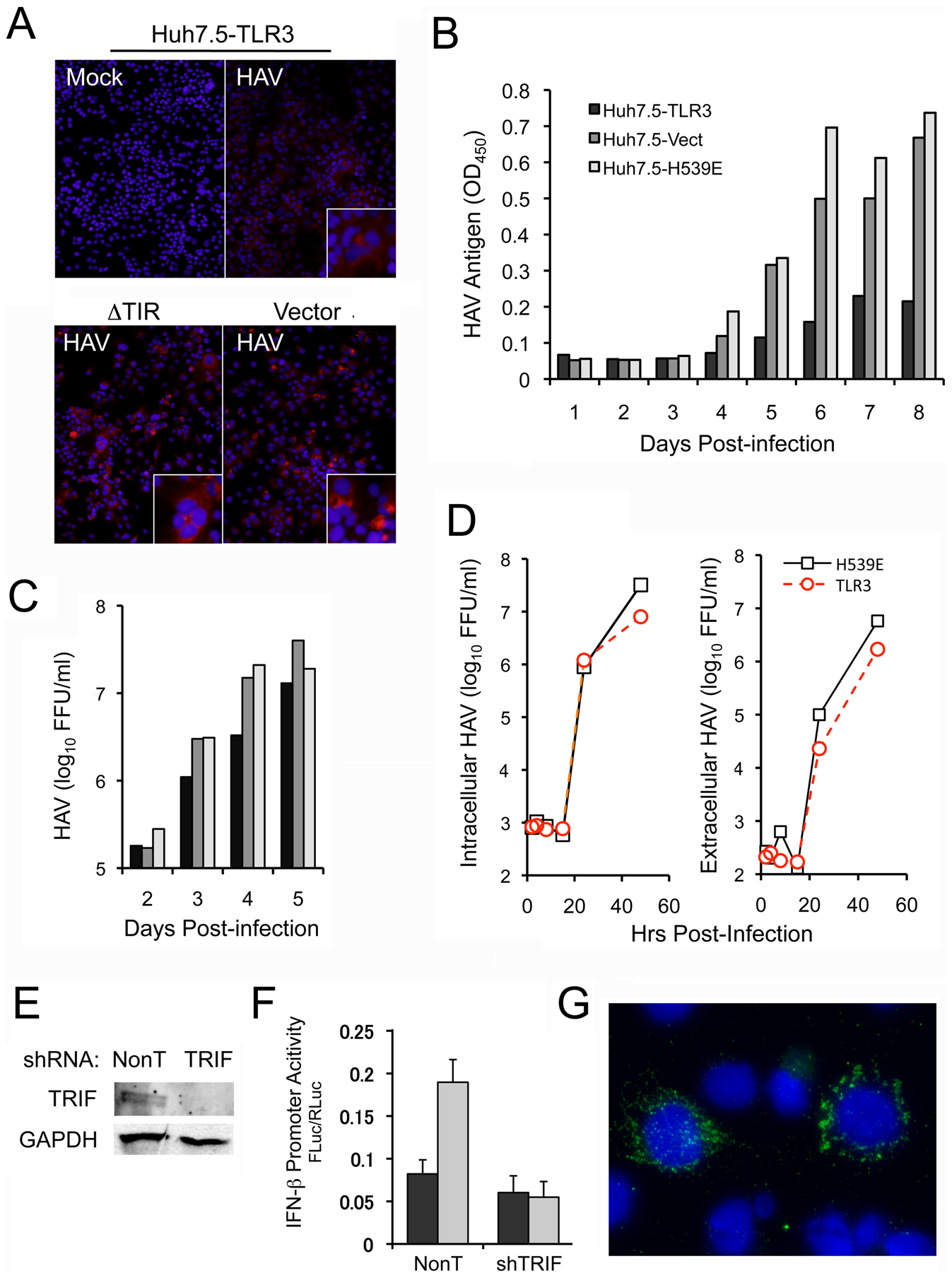 TLR signaling and TRIF regulate cellular permissiveness for HAV.