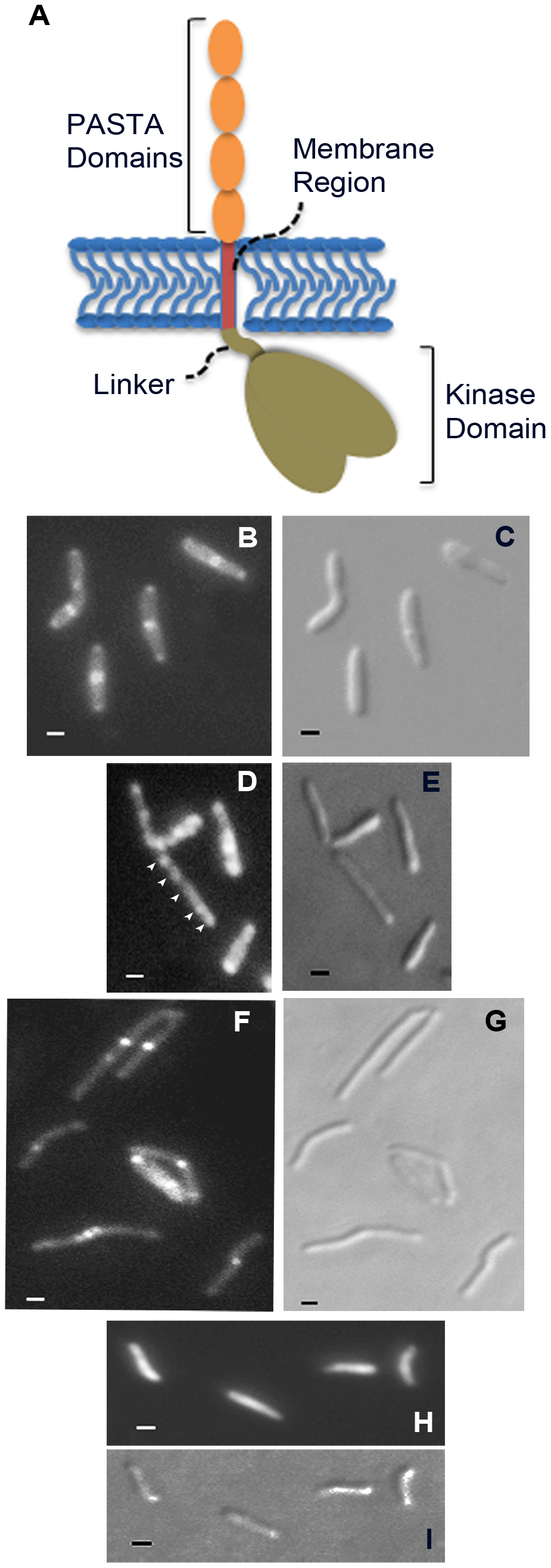 Localization of PknB to sites of peptidoglycan turnover in the mycobacterial cell.