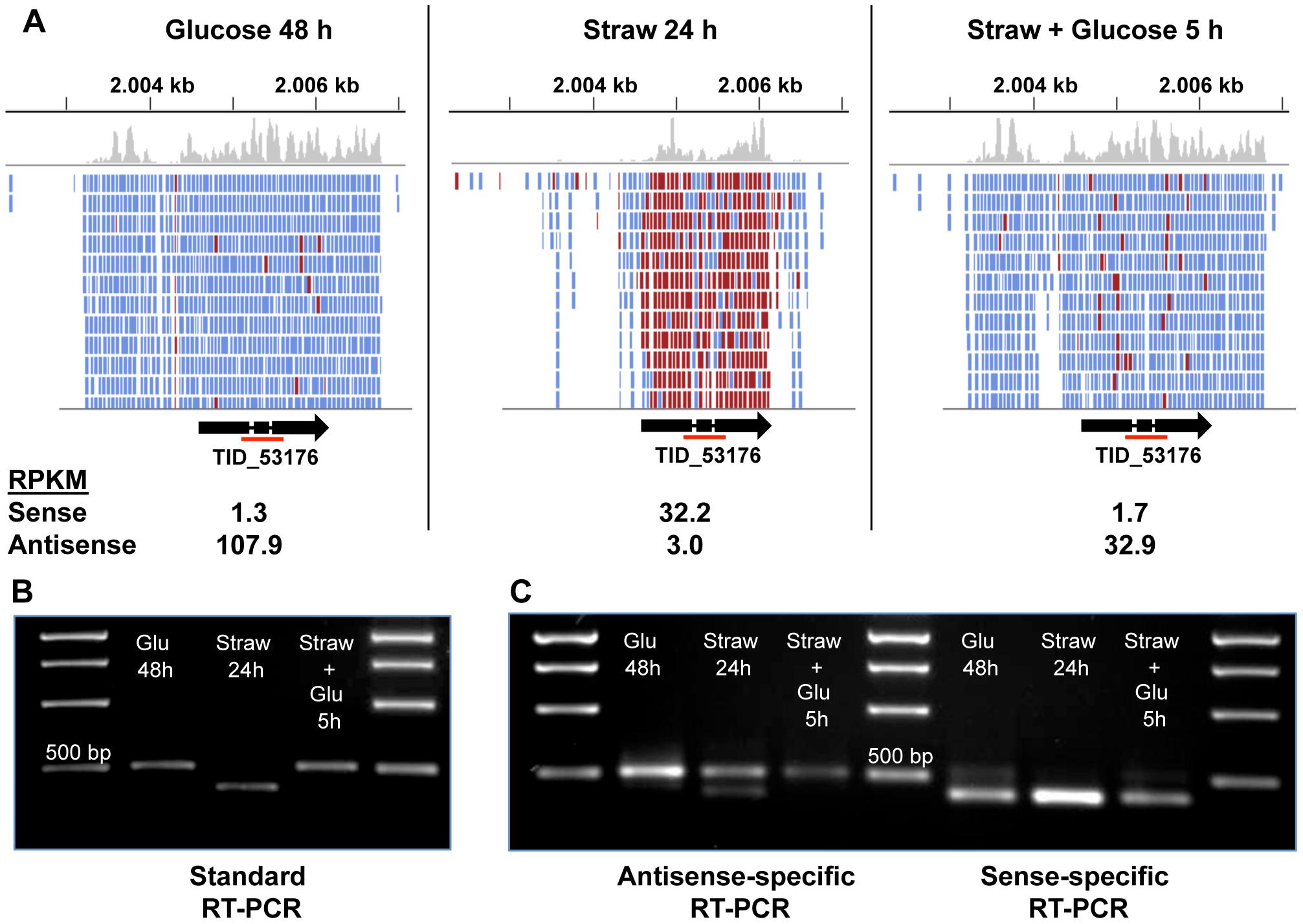 Sense and antisense transcription from TID_53176.