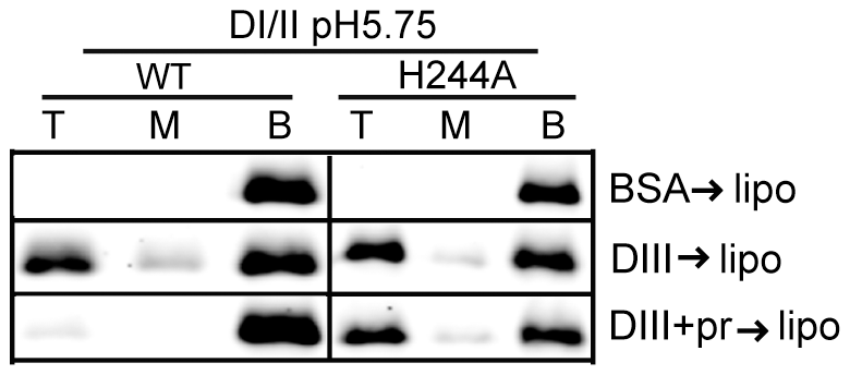 H244A E protein interacts with membranes and is resistant to inhibition by pr.