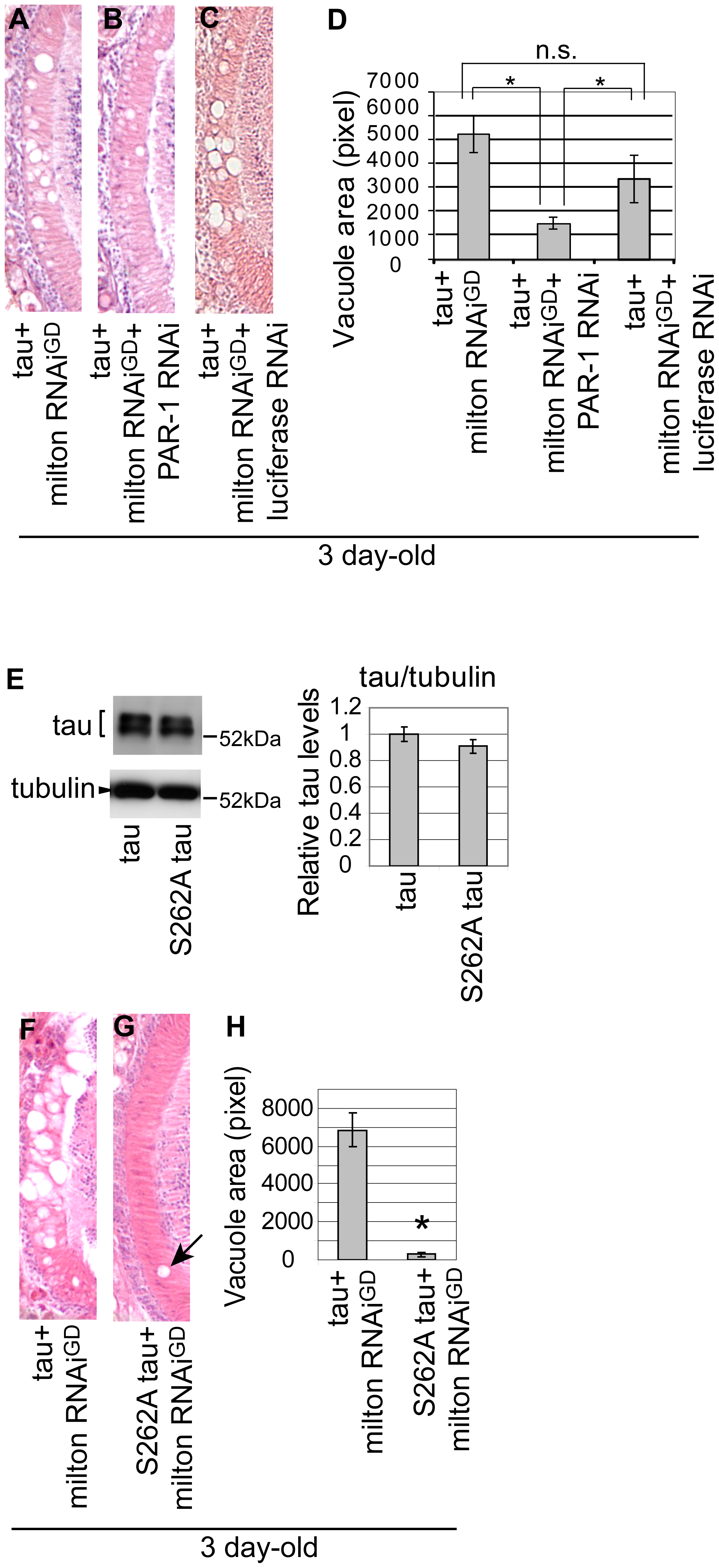 PAR-1 and tau phosphorylation site Ser262 are critical for the enhancement of tau-induced neurodegeneration caused by milton knockdown.