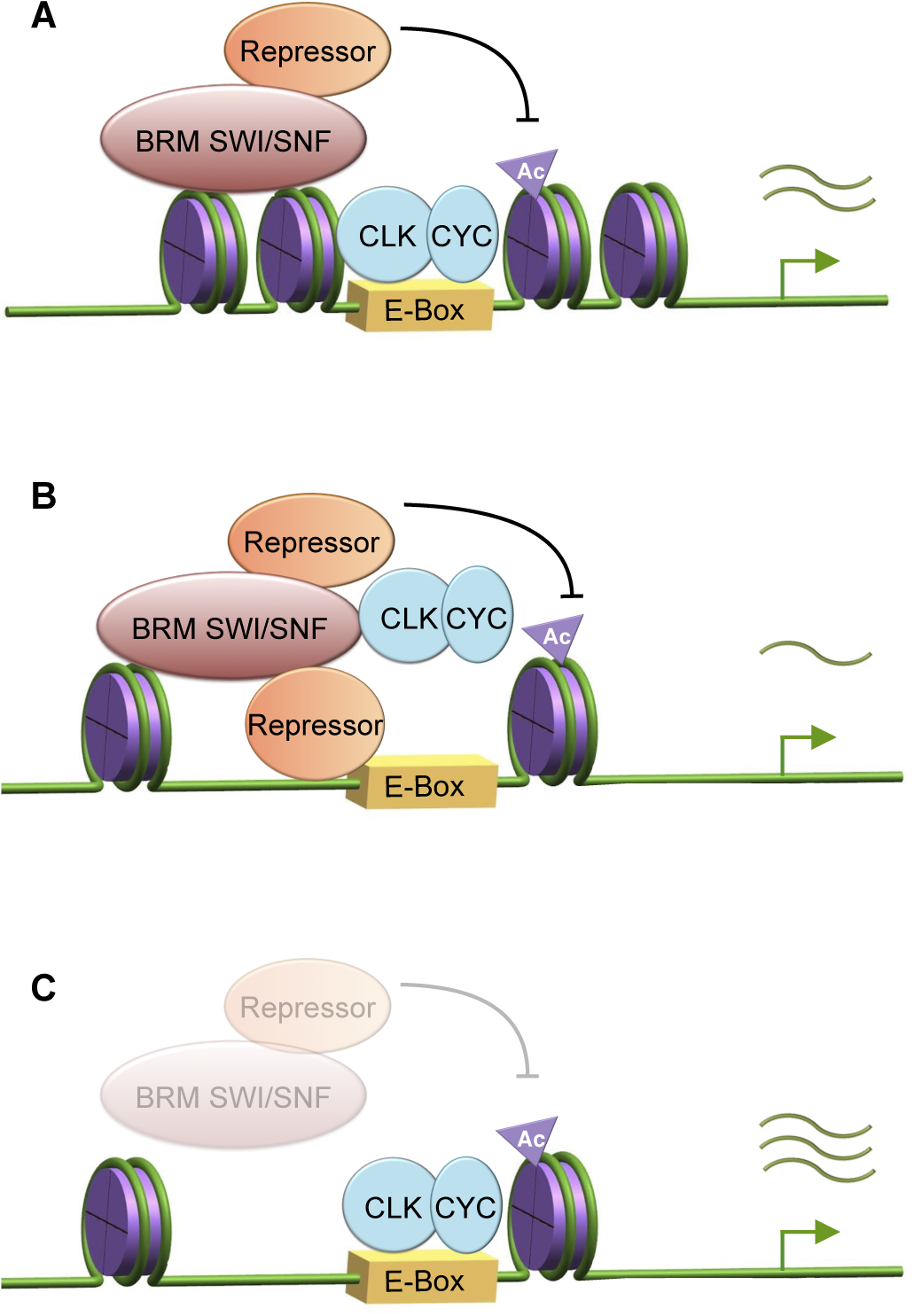 BRM exhibits both catalytic and non-catalytic roles in fine-tuning circadian transcription.
