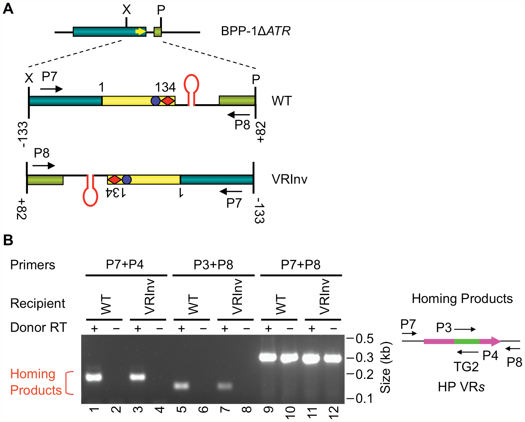 Target orientation in the BPP-1 phage genome is not critical for recognition.