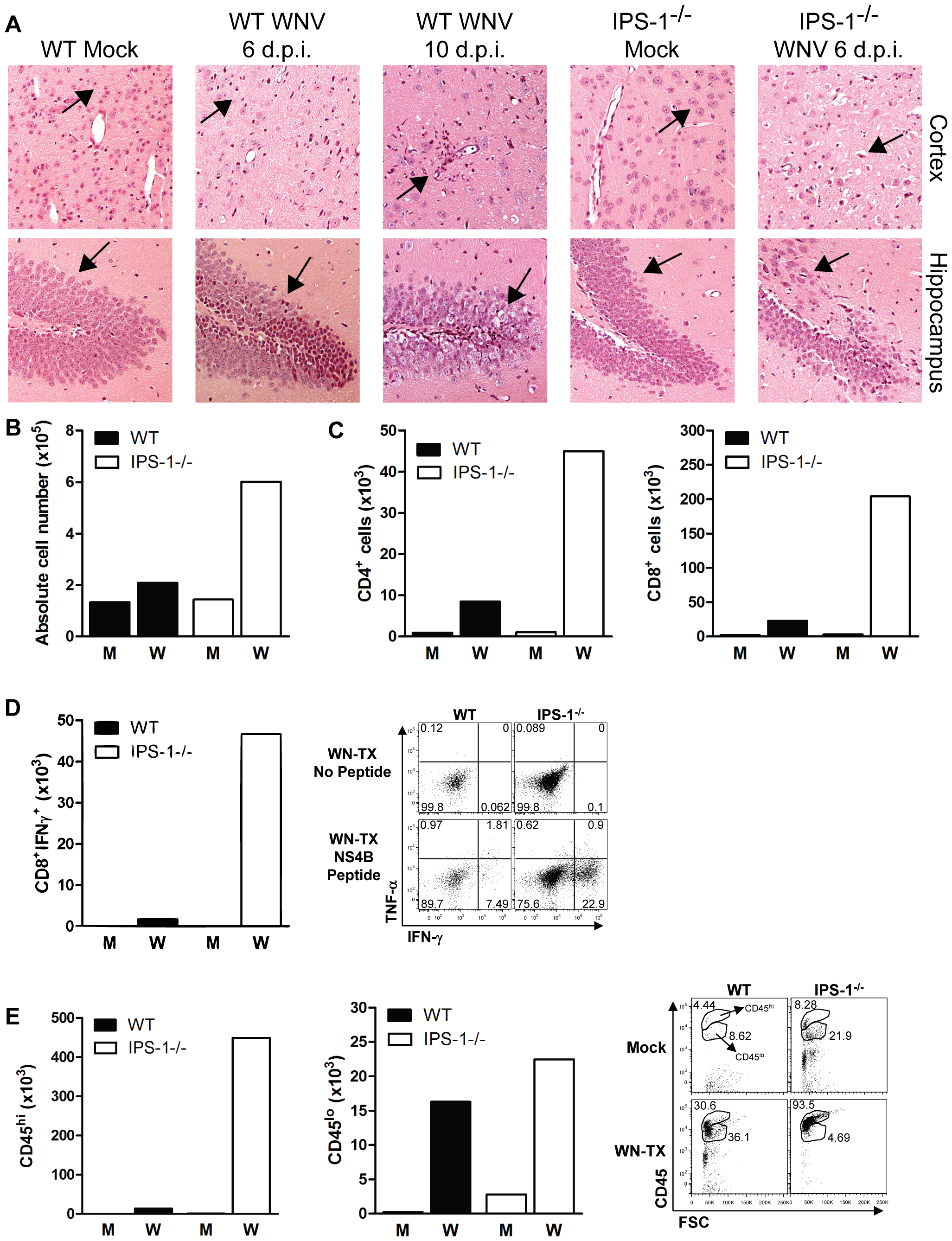 Increased CNS inflammation in WNV-infected IPS-1<sup>−/−</sup> mice.