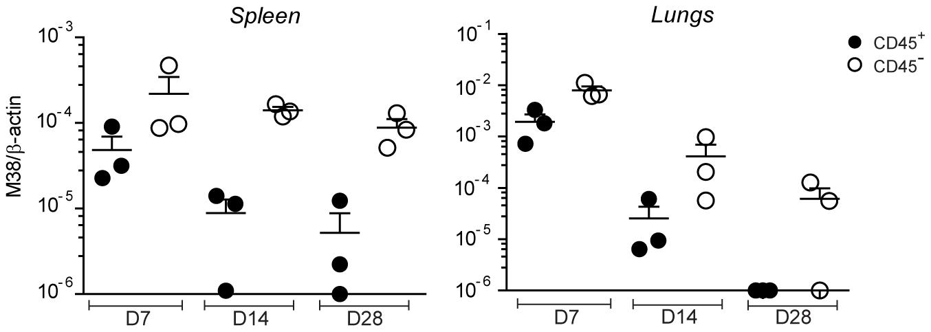 MCMV genome localizes preferentially in non-hematopoietic cells.