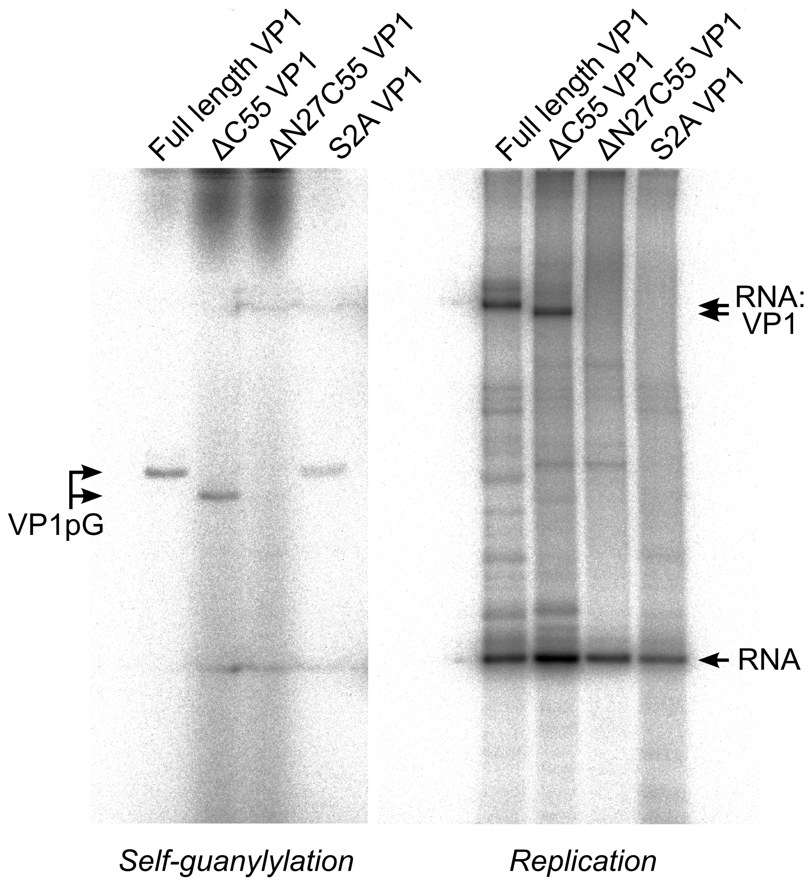 IPNV VP1 self-guanylylation and RNA∶polymerase complex formation.