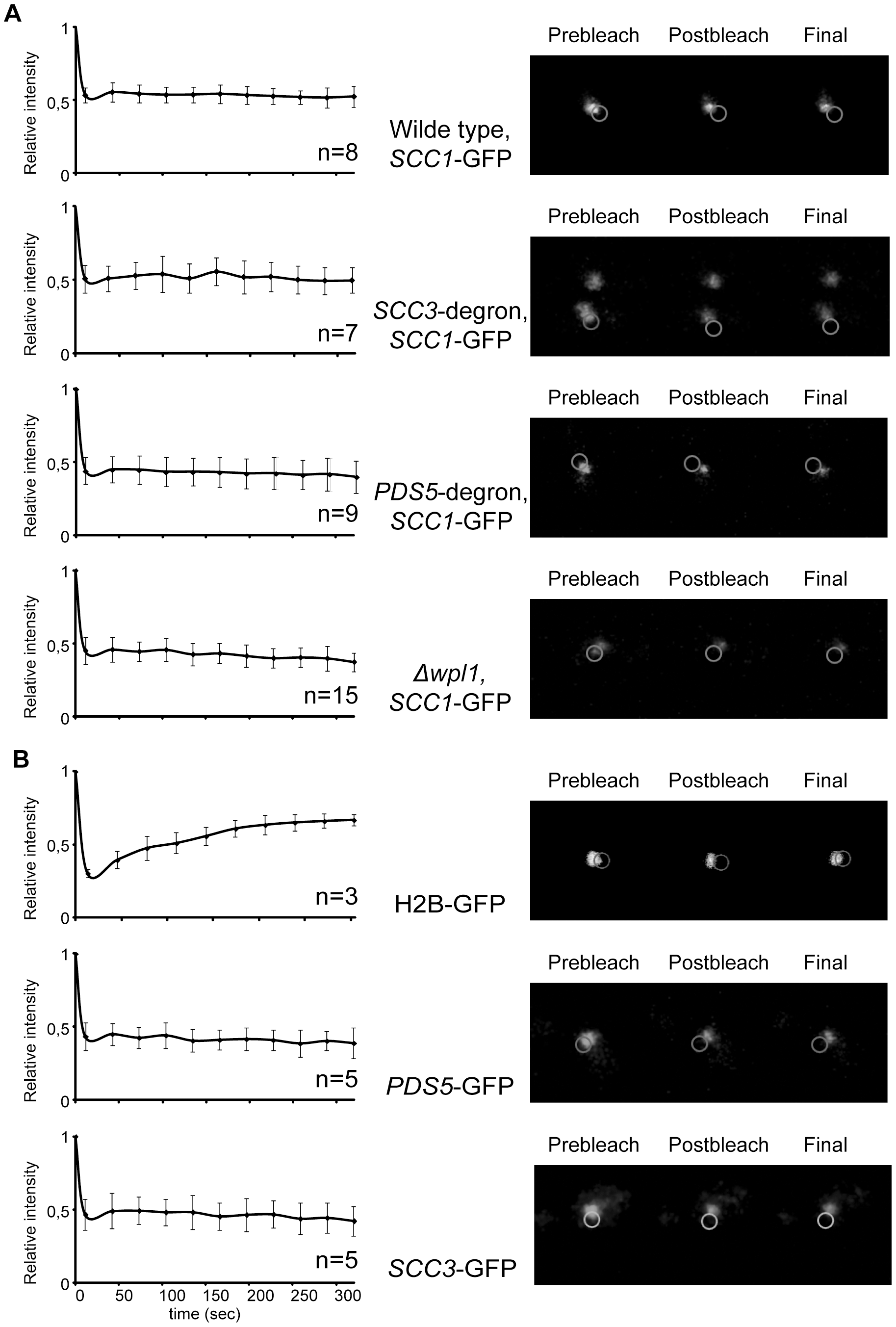 Depletion of Scc3, Pds5, and Wpl1 does not affect cohesin turnover rate on chromosomes.