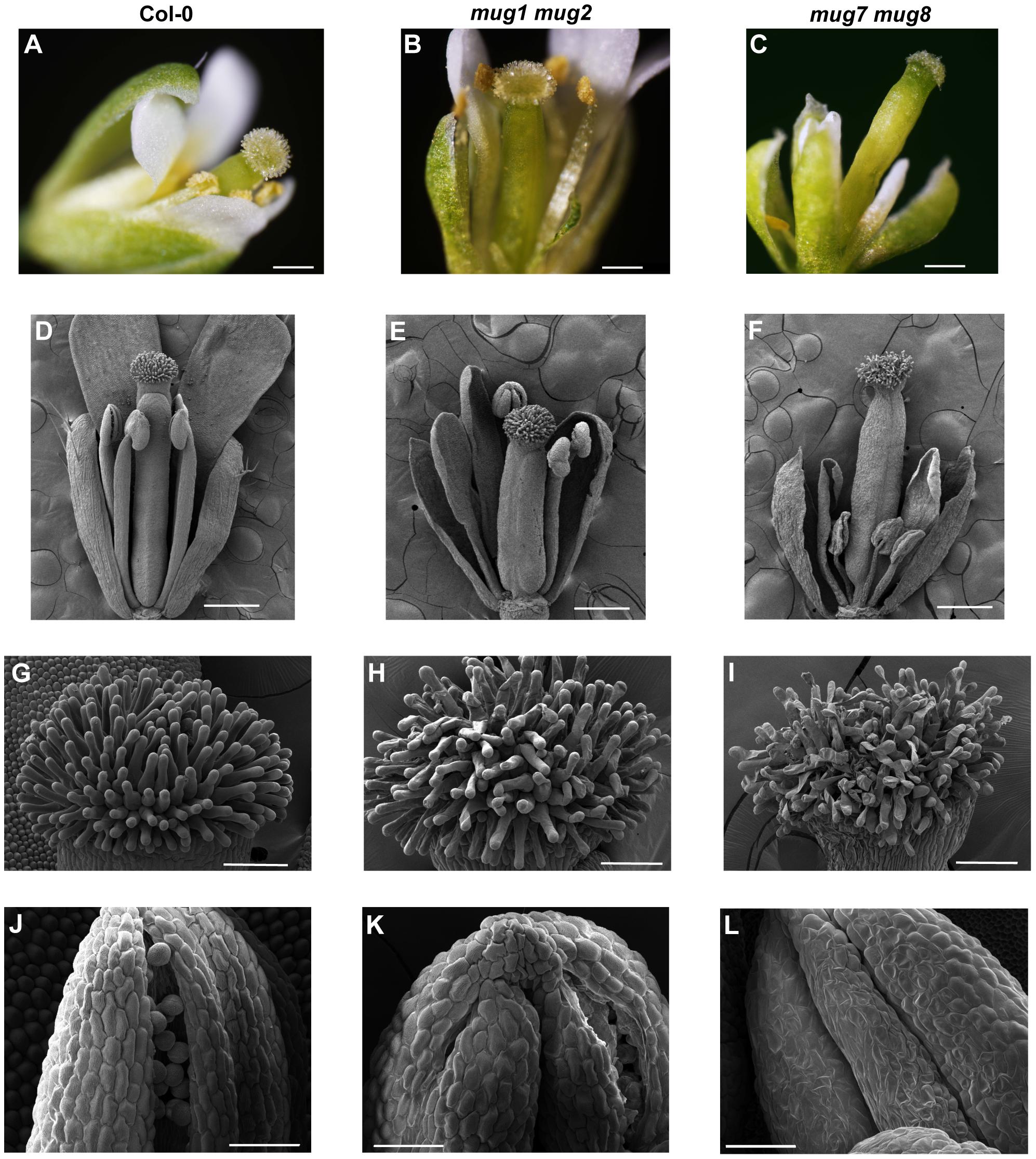 Flower structure of wild-type, <i>mug1 mug2</i>, and <i>mug7 mug8</i> in <i>A. thaliana</i>.