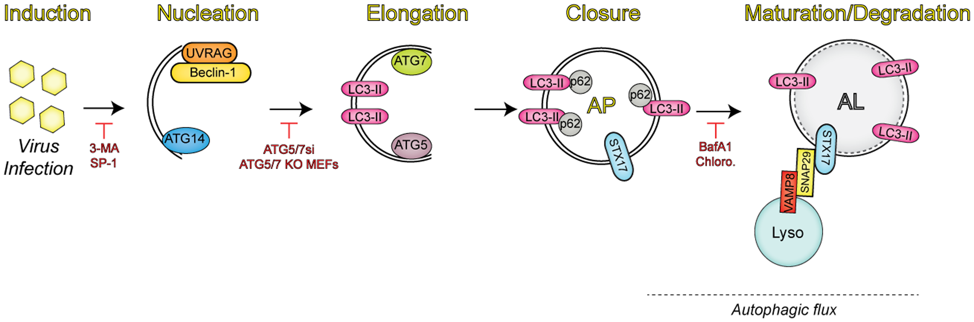 Overview of the autophagic pathway.