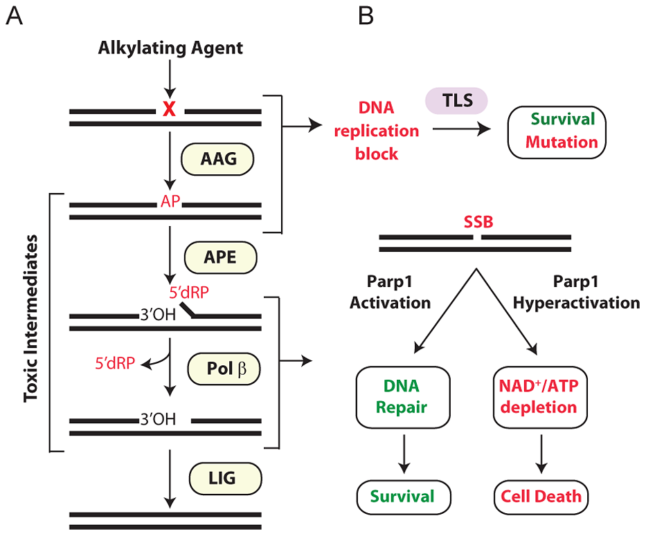 Cellular processing and repair of DNA base lesions in DNA.