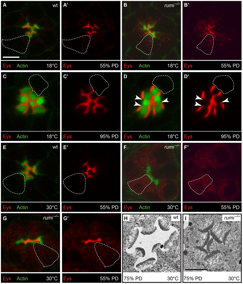 Loss of Rumi leads to intracellular accumulation and decreased IRS levels of Eys in a temperature dependent manner at the mid-pupal stage.